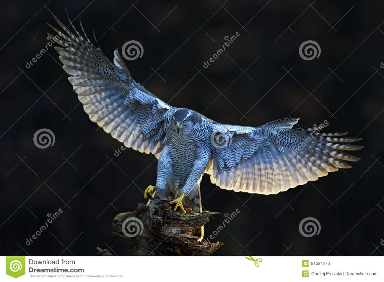 Aciton wildlife scene from forest, with bird. Goshawk, flying bird of prey with open wings with evening sun back light, nature for