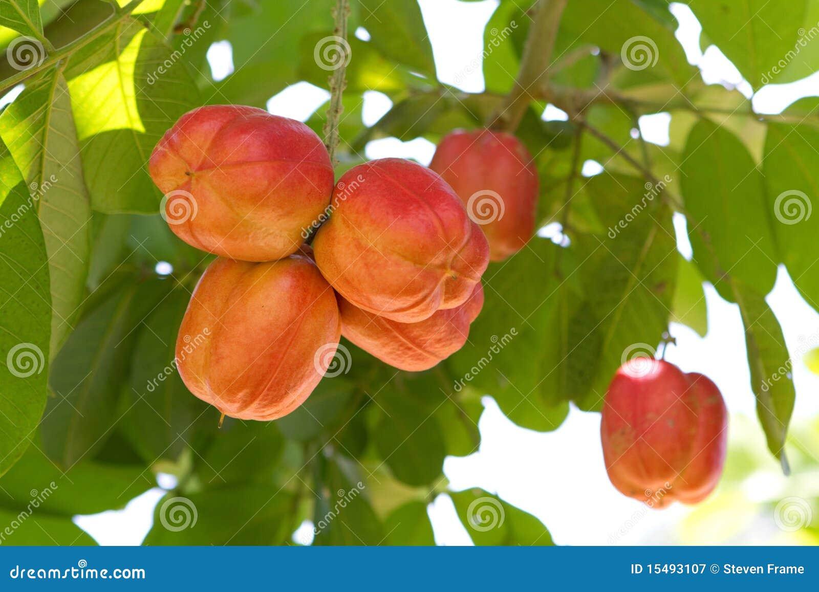 Ackeefruktträd