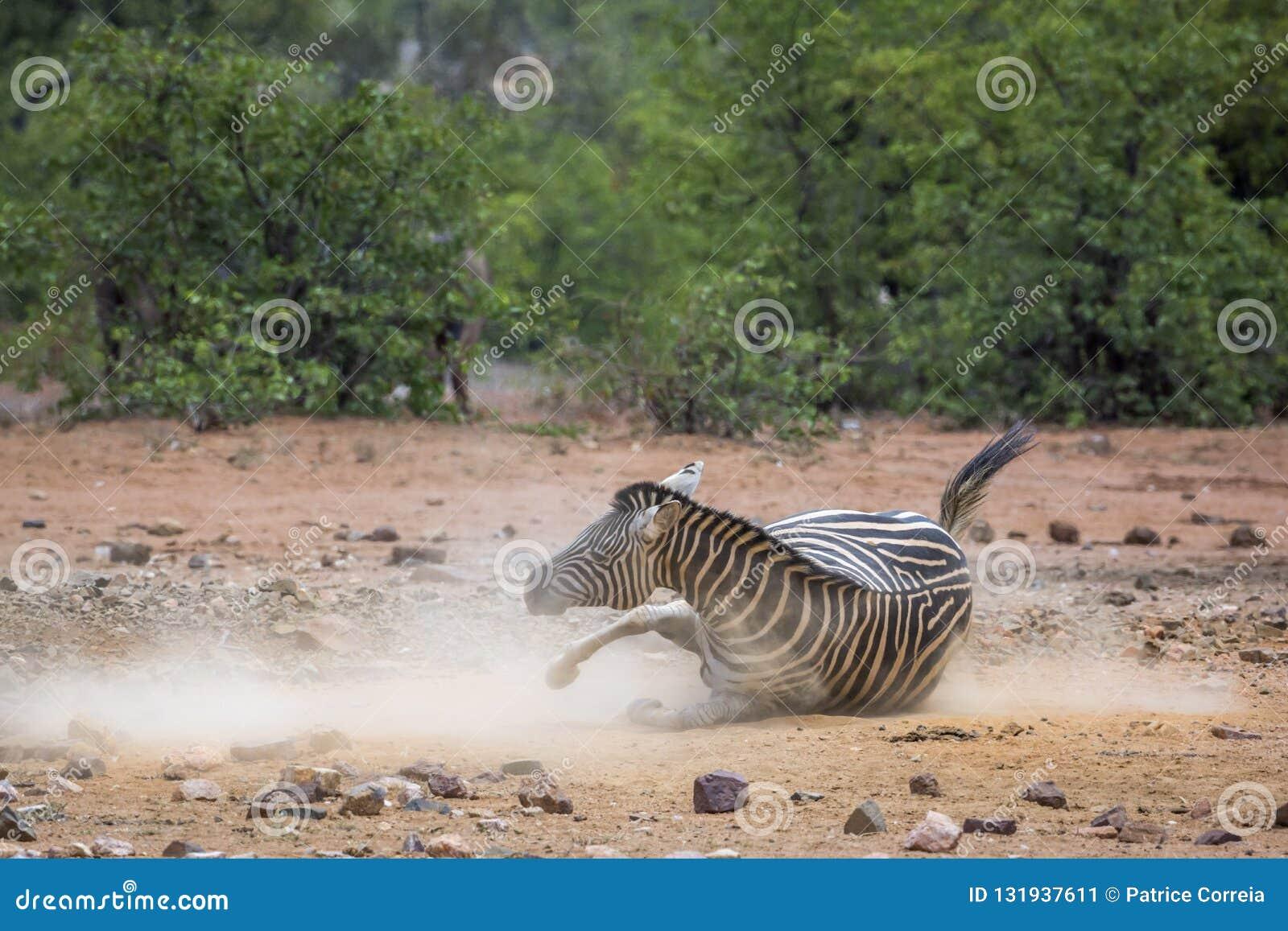 Aclara la cebra en el parque nacional de Kruger, Suráfrica