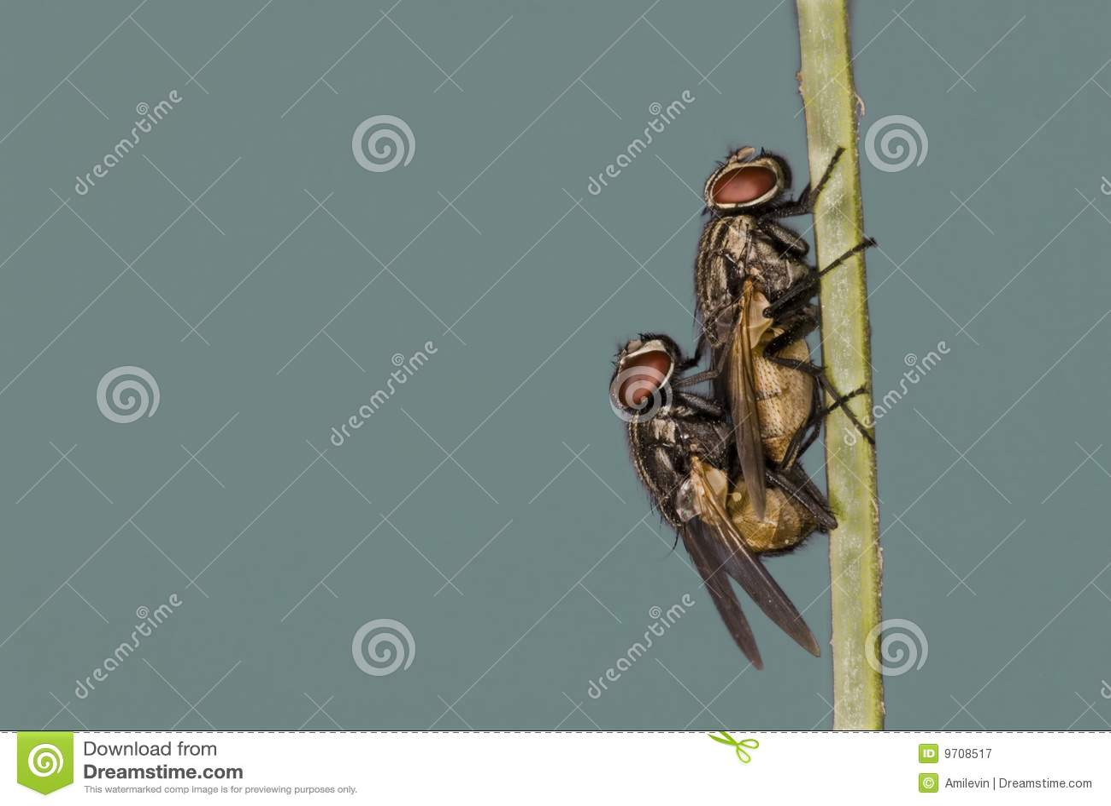 Acoplamento das moscas