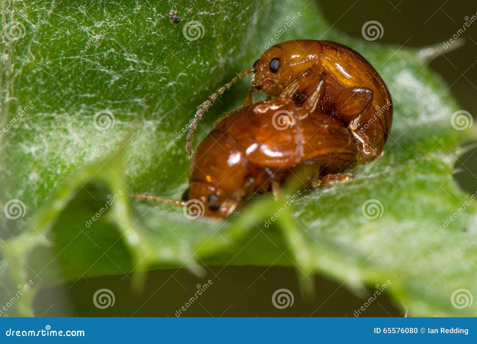 Acoplamento dos besouros do testaceum de Sphaeroderma