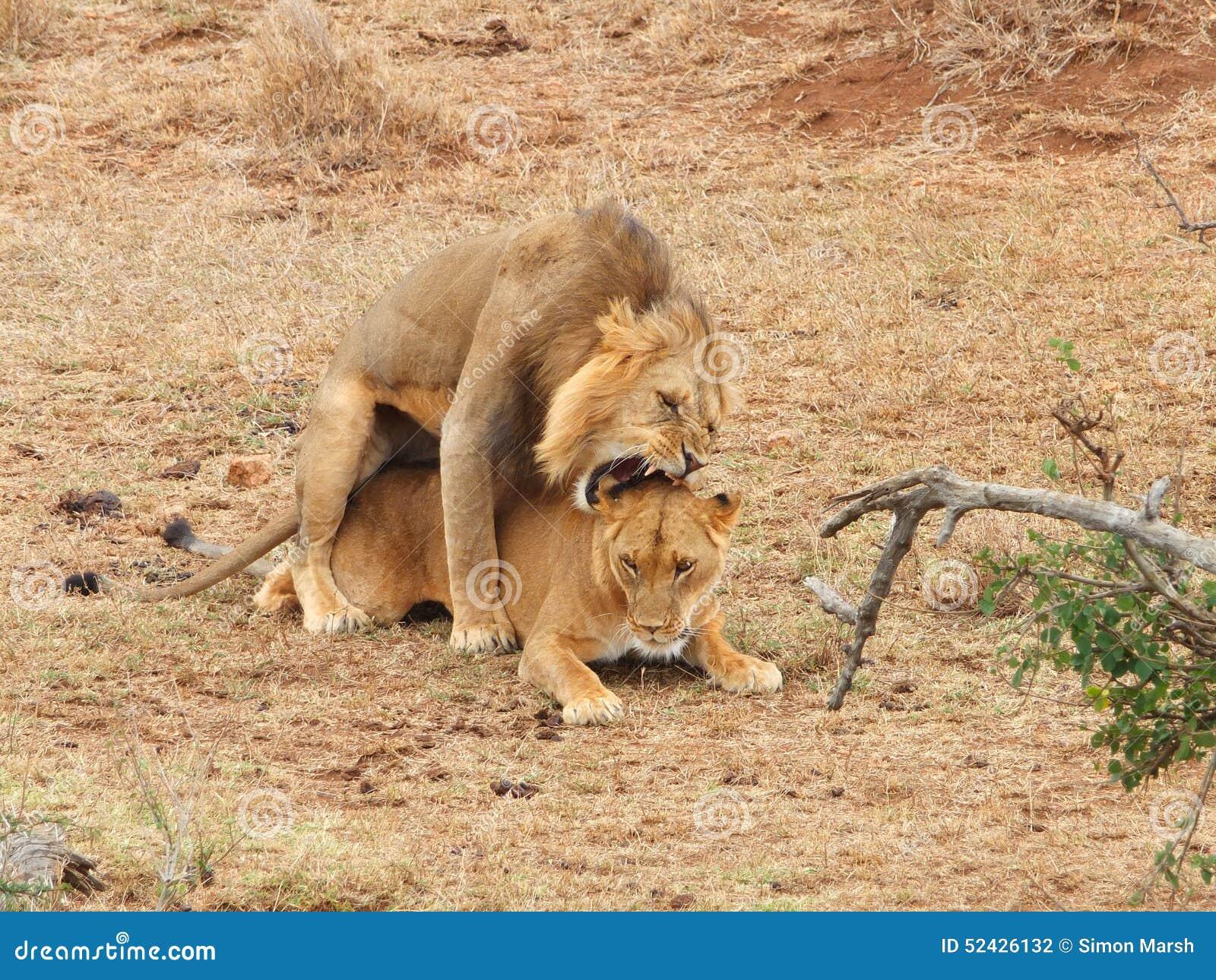 Acoplamiento de los leones