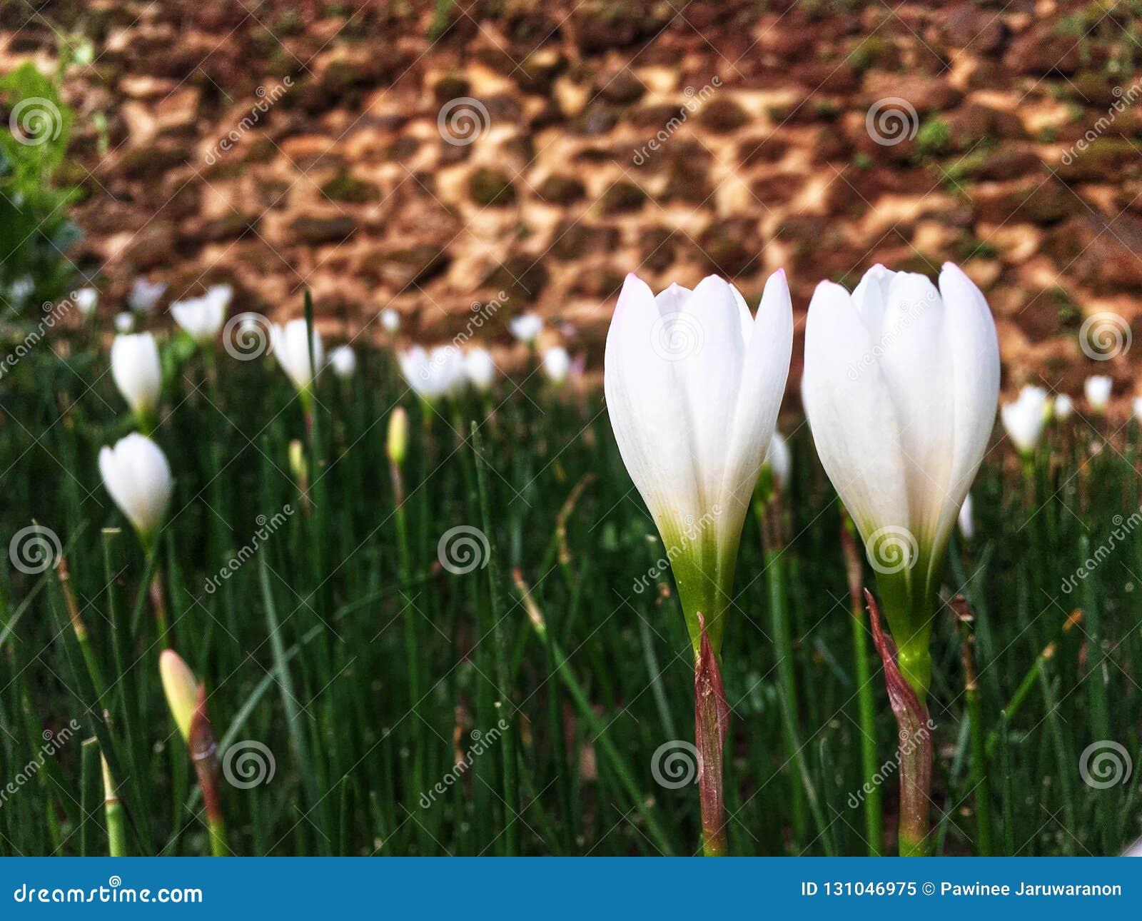 Acople as flores brancas do açafrão que florescem no jardim na estação das chuvas