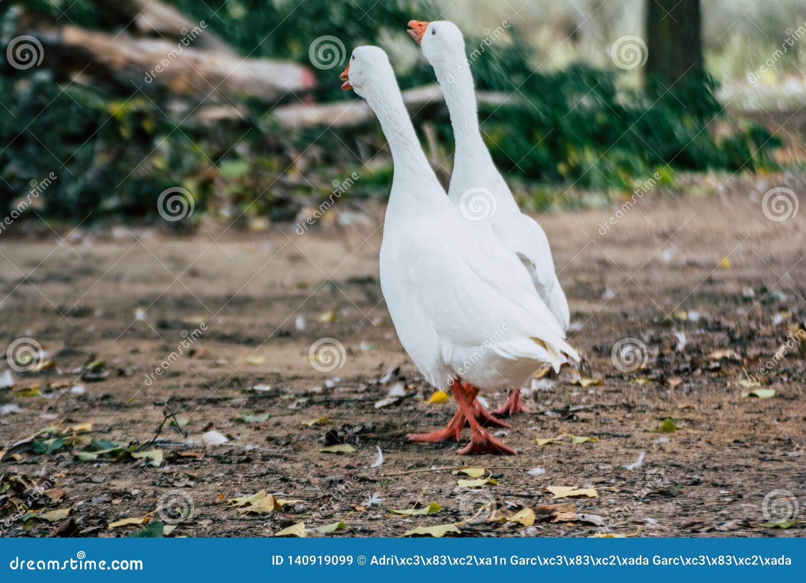 Acople dos gansos dos patos que andam no parque