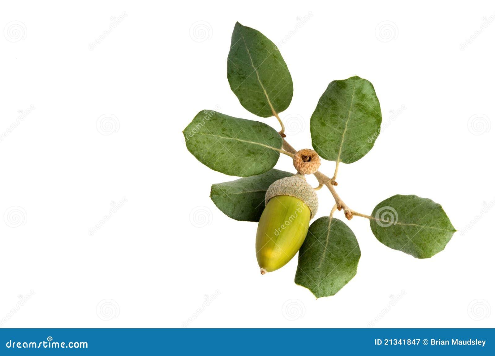 Oak Leaf And Acorn Drawing Acorn and Holly Oak leaves
