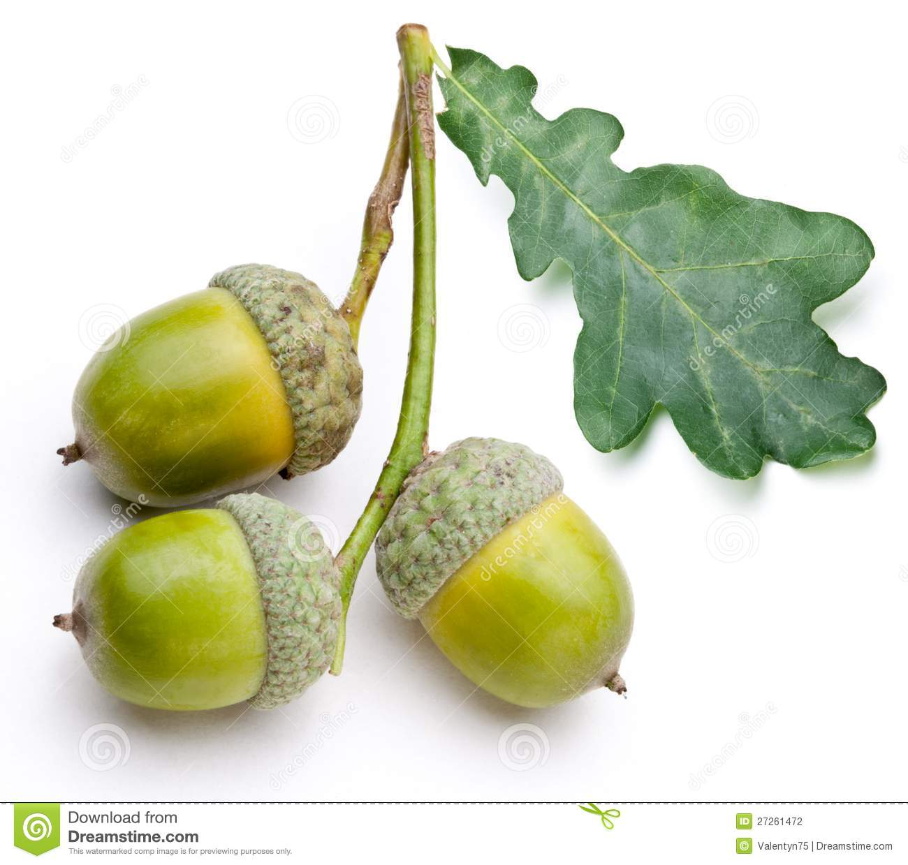 Acorn With Leaf Stock Photography - Image: 27261472