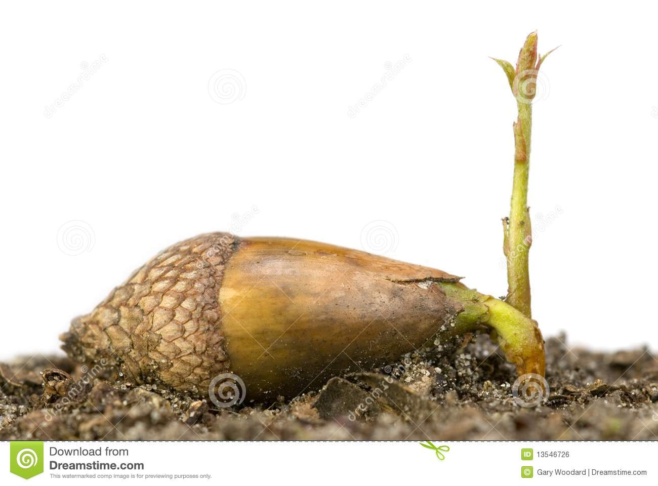 acorn sprouting royalty free stock image image 13546726 Blackbird Outline flying blackbird clipart