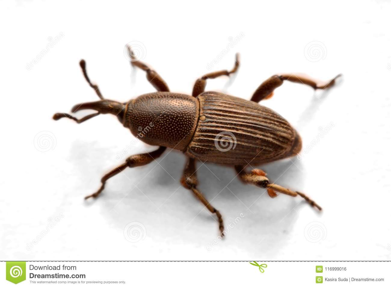 Acorn weevil, Curculio glandium, isolated on whiteA little blac