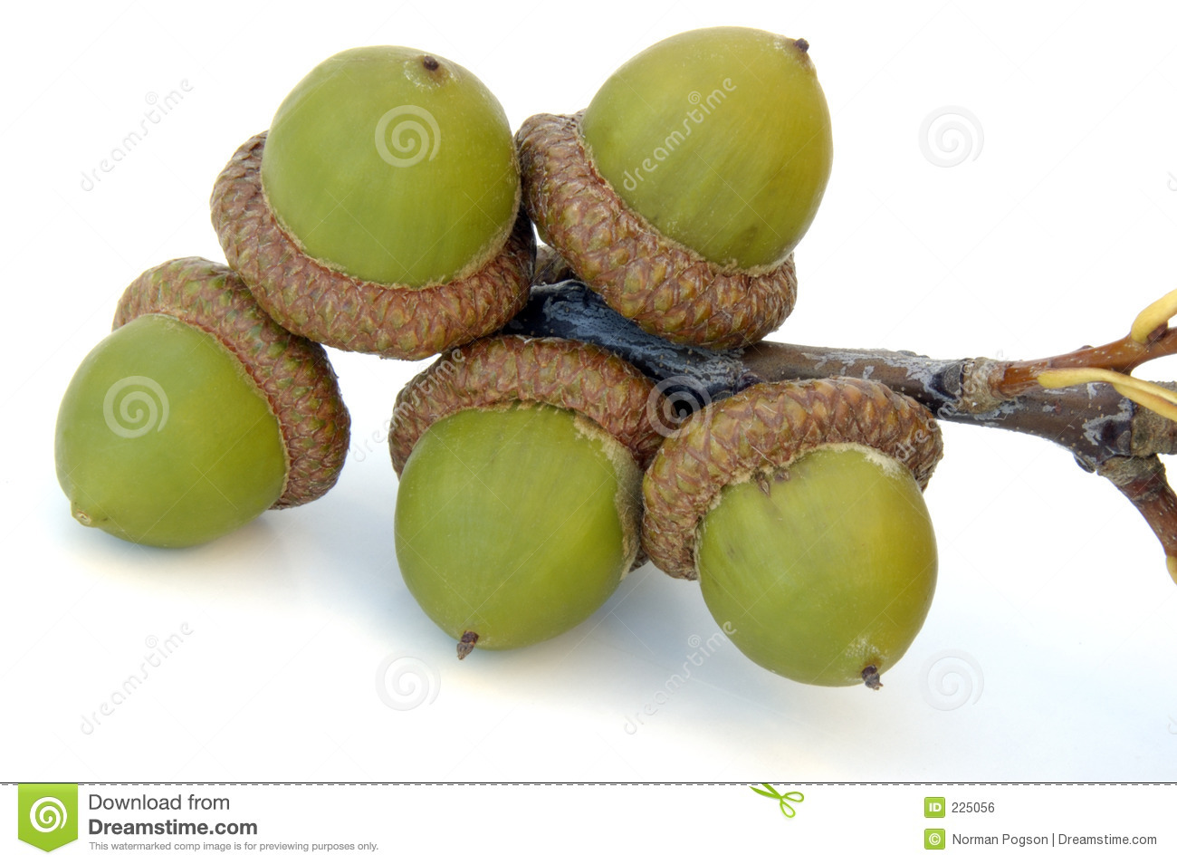 Download Acorns stock photo. Image of isolated, nature, green, seed - 225056