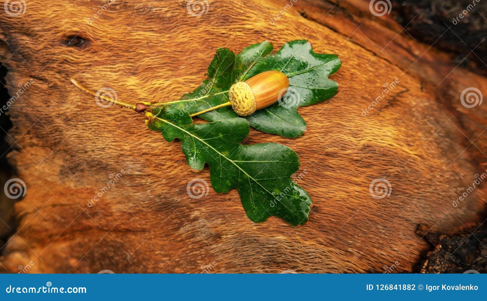 Acorns dąb z liśćmi kłamają na konopie