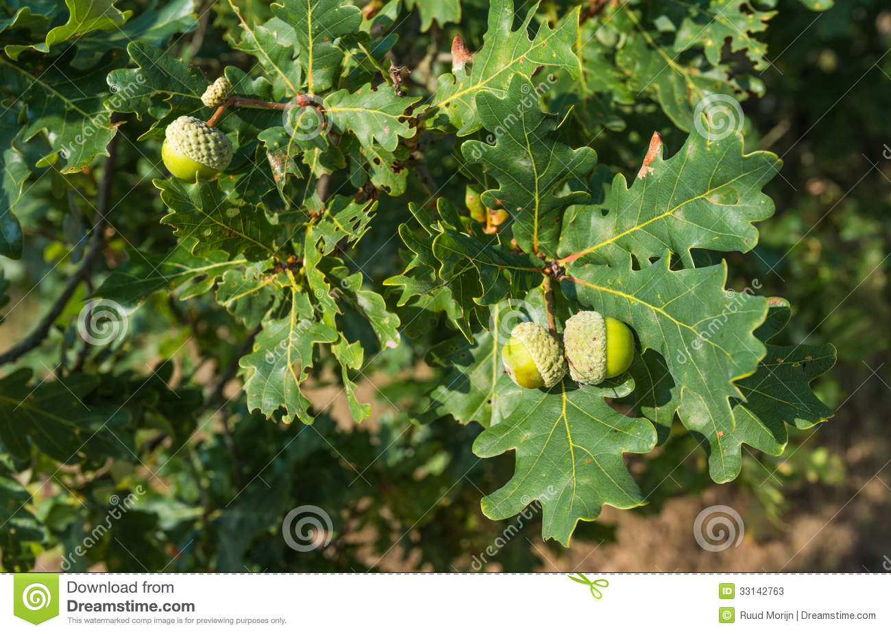 Acorns Growing At An Oak Tree In Summer Stock Photos ...