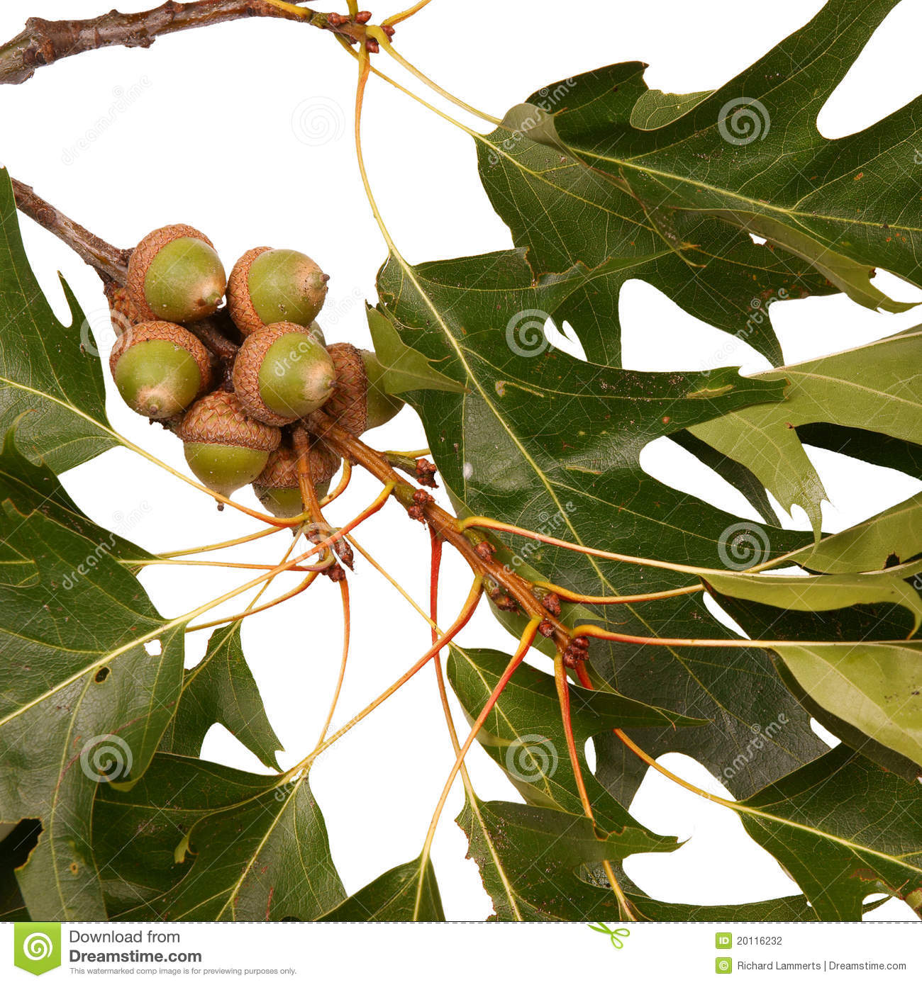 Acorns On An Oak Branch Stock Photography - Image: 20116232