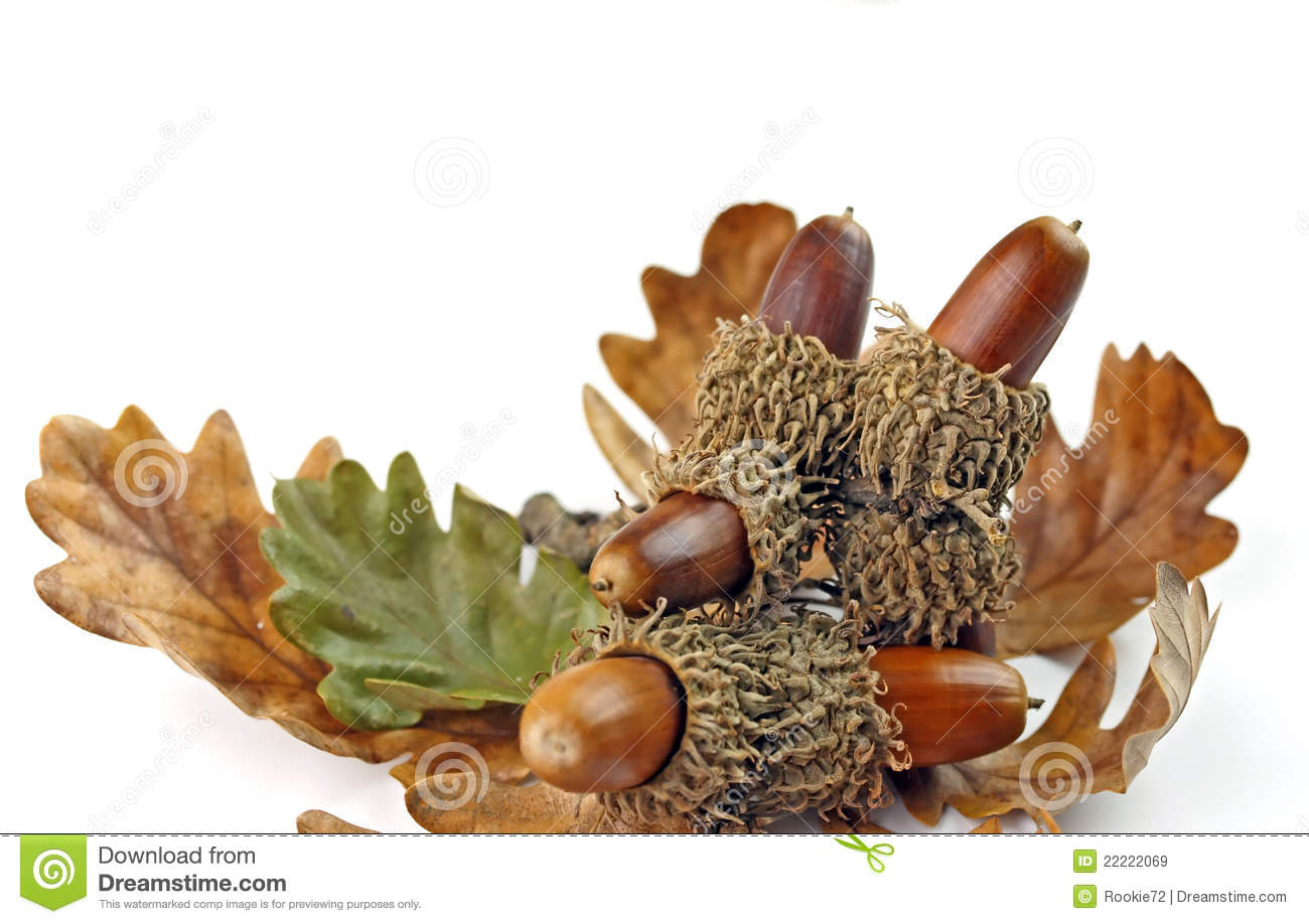 Acorns and oak tree leaves royalty free stock images for How to preserve acorns