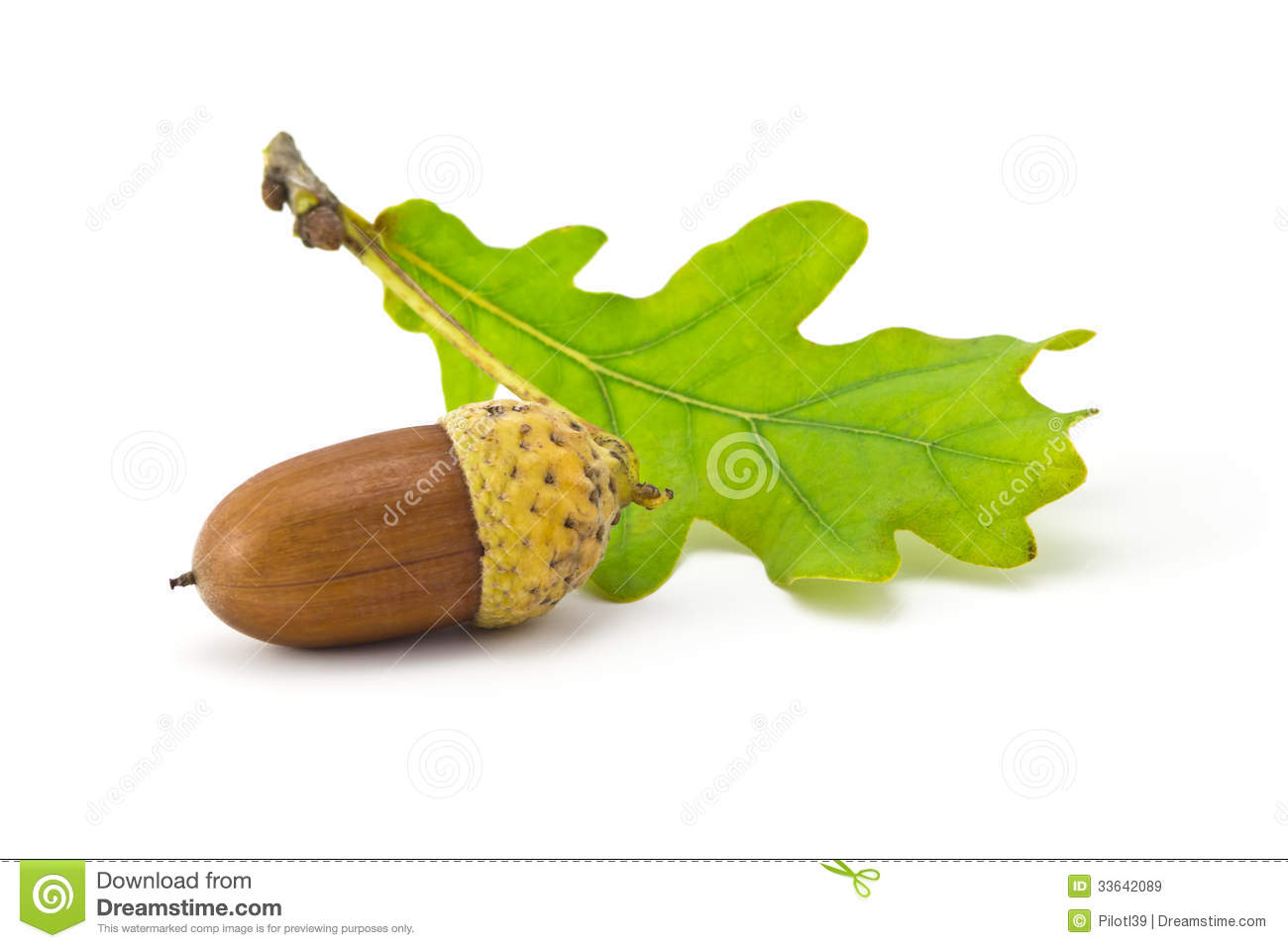 Acorns Royalty Free Stock Images - Image: 33642089