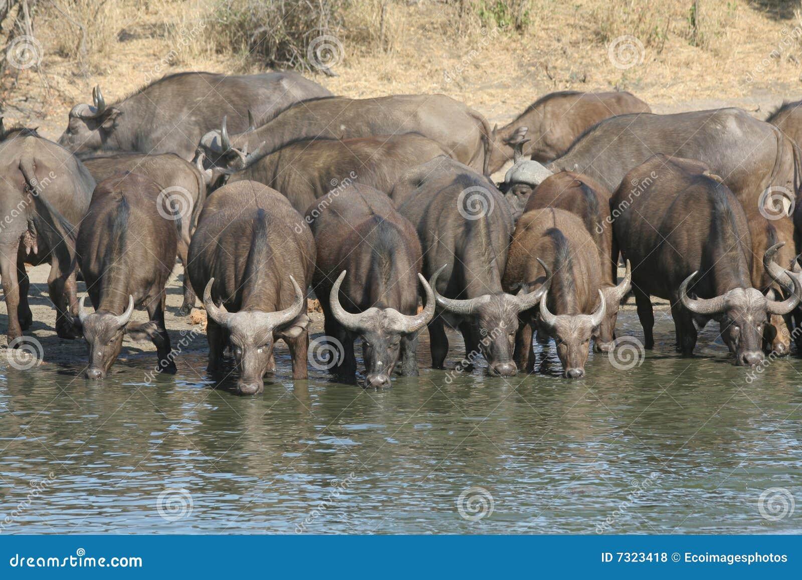 Acqua di Drunking della Buffalo