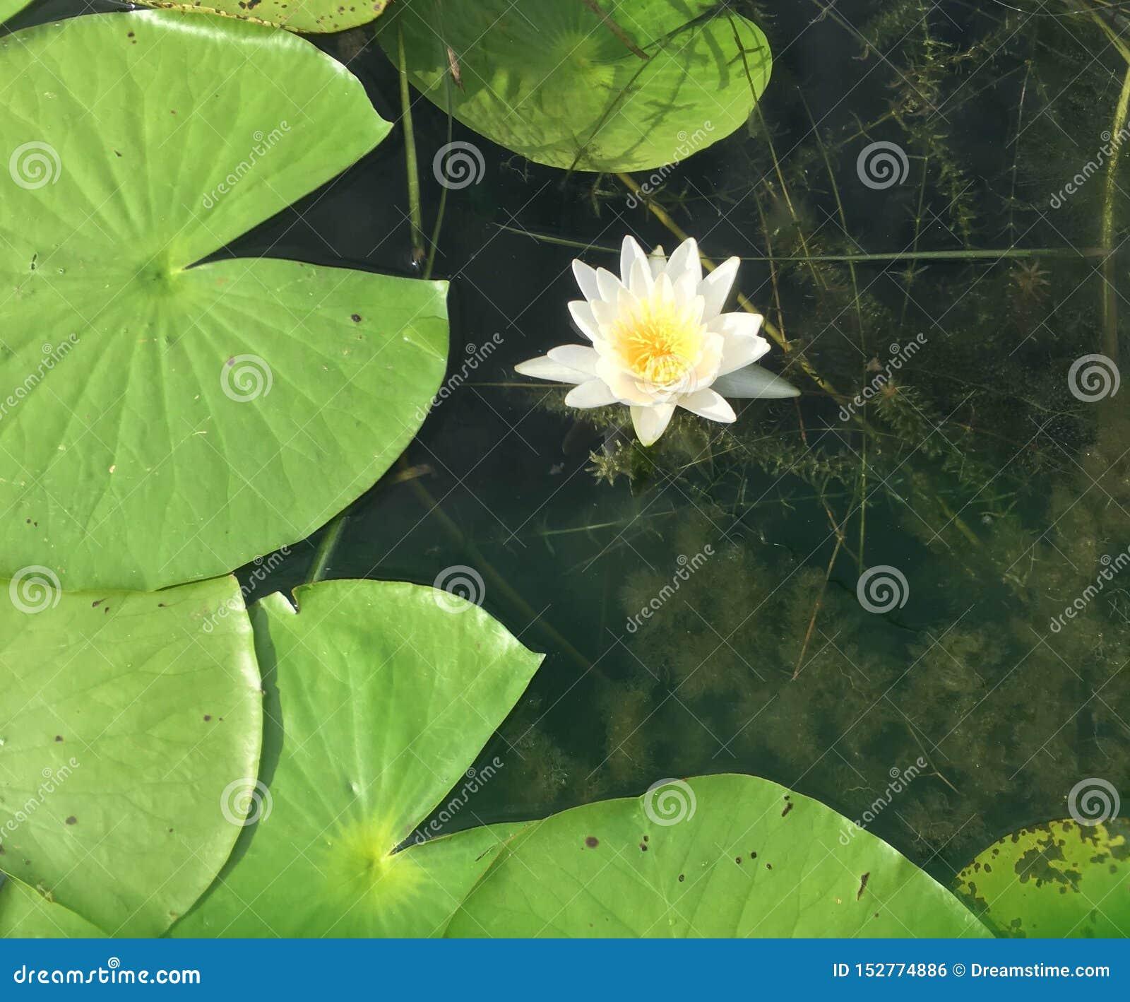 Acqua lilly