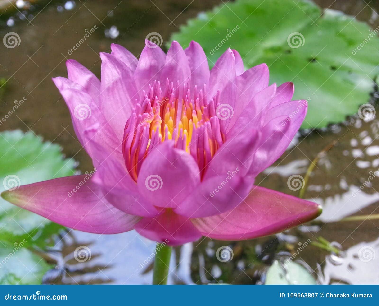 Acqua naturale lily flower di colore di rosa della sri lanka acqua naturale lily flower di colore di rosa della sri lanka izmirmasajfo