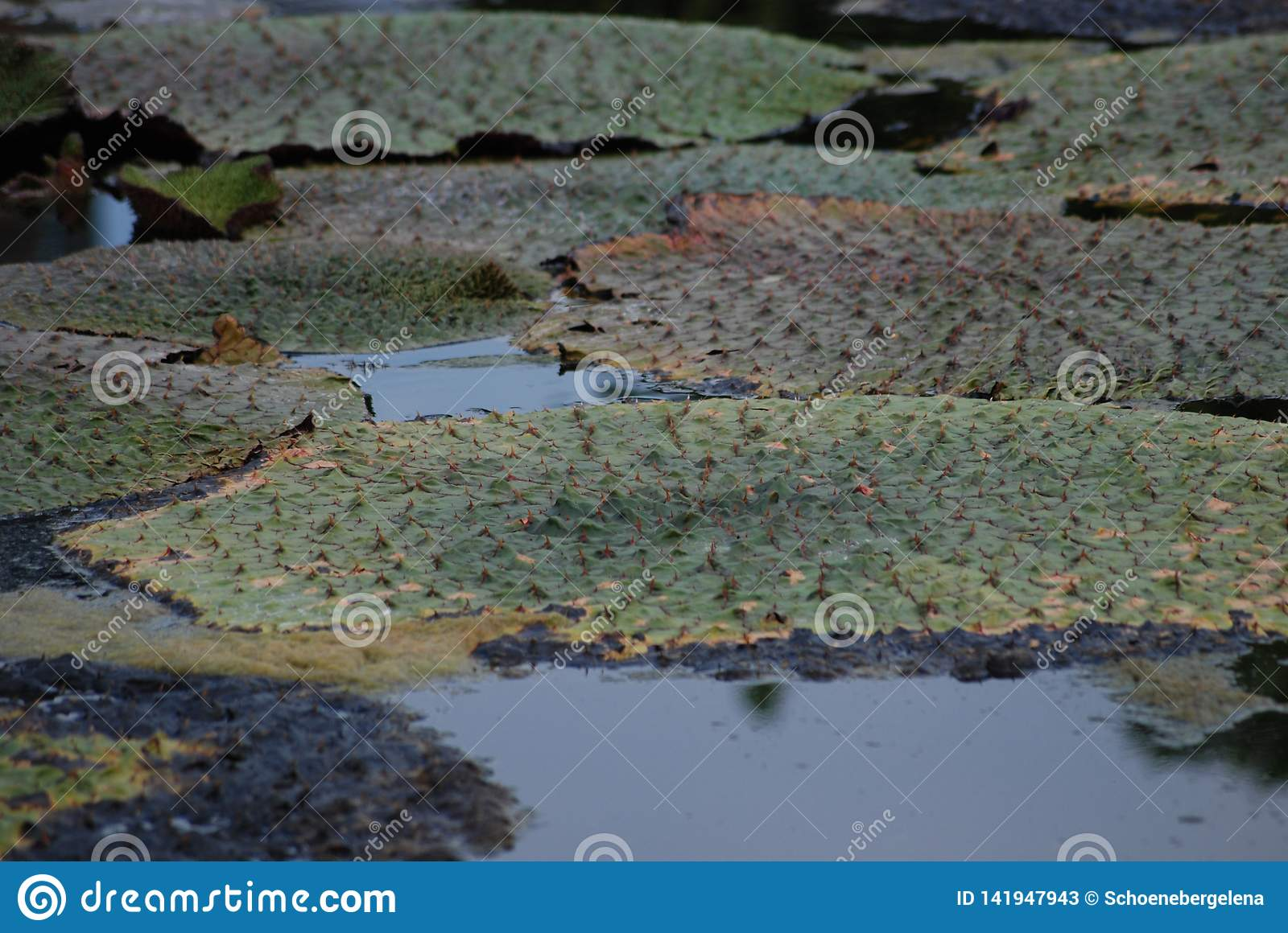 Acqua spinosa Lily Euryale Leaves Floating in stagno
