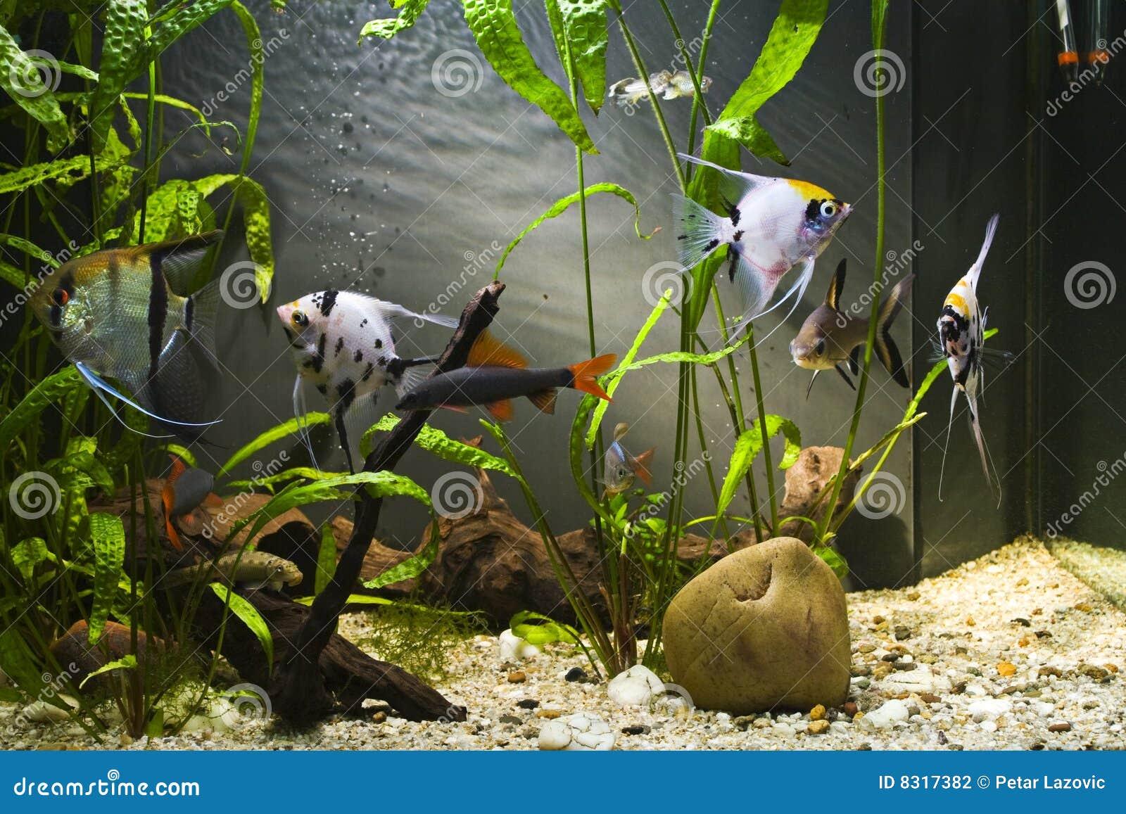 Acquario d 39 acqua dolce tropicale fotografia stock for Acquario acqua dolce