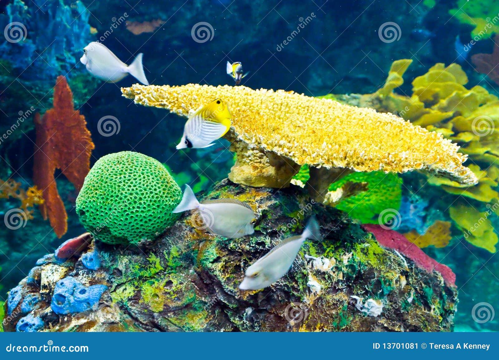 Acquario tropicale immagine stock immagine 13701081 for Acquario acqua salata