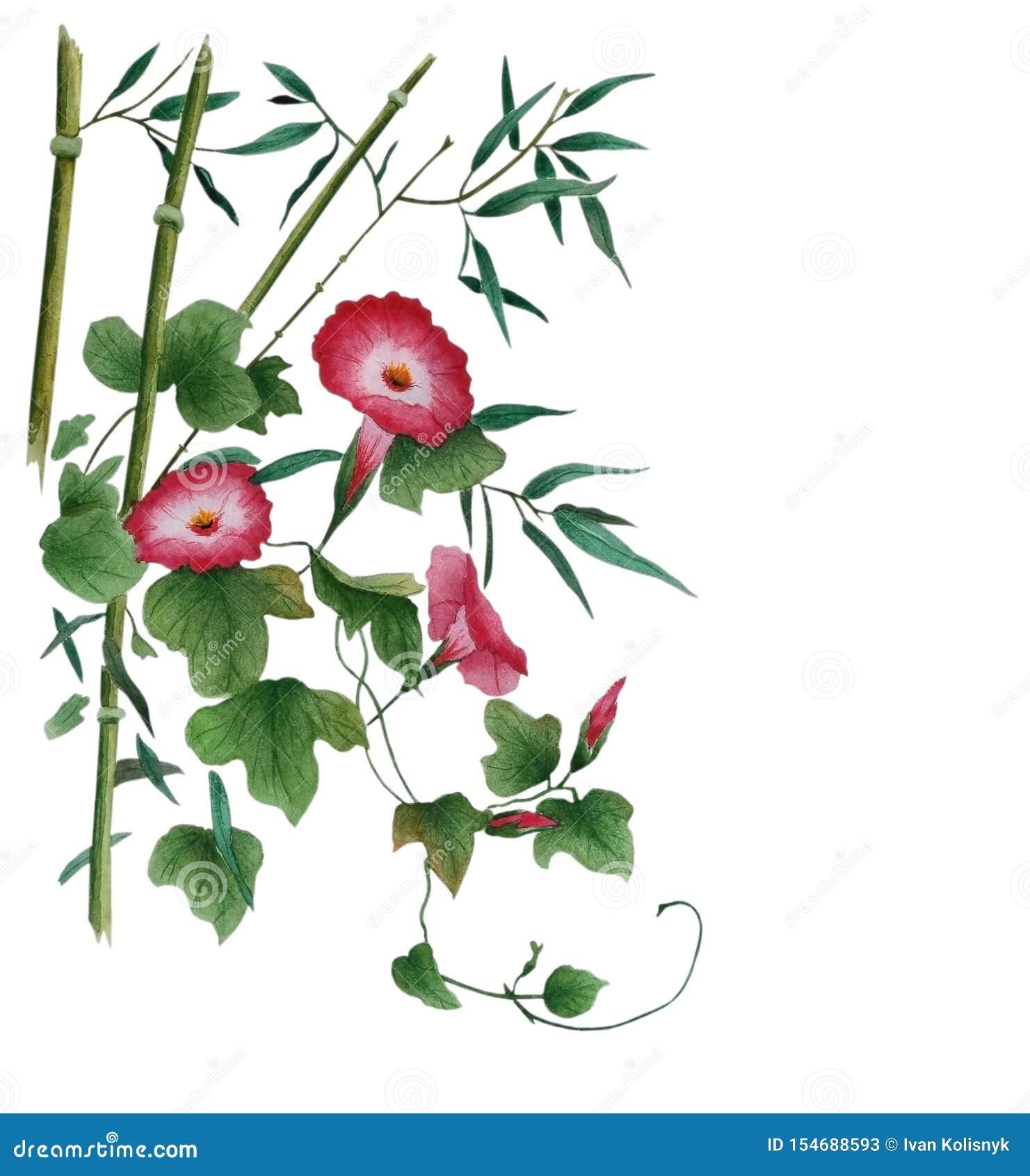 Acquerello con le foglie di bambù rosse e del convolvolo