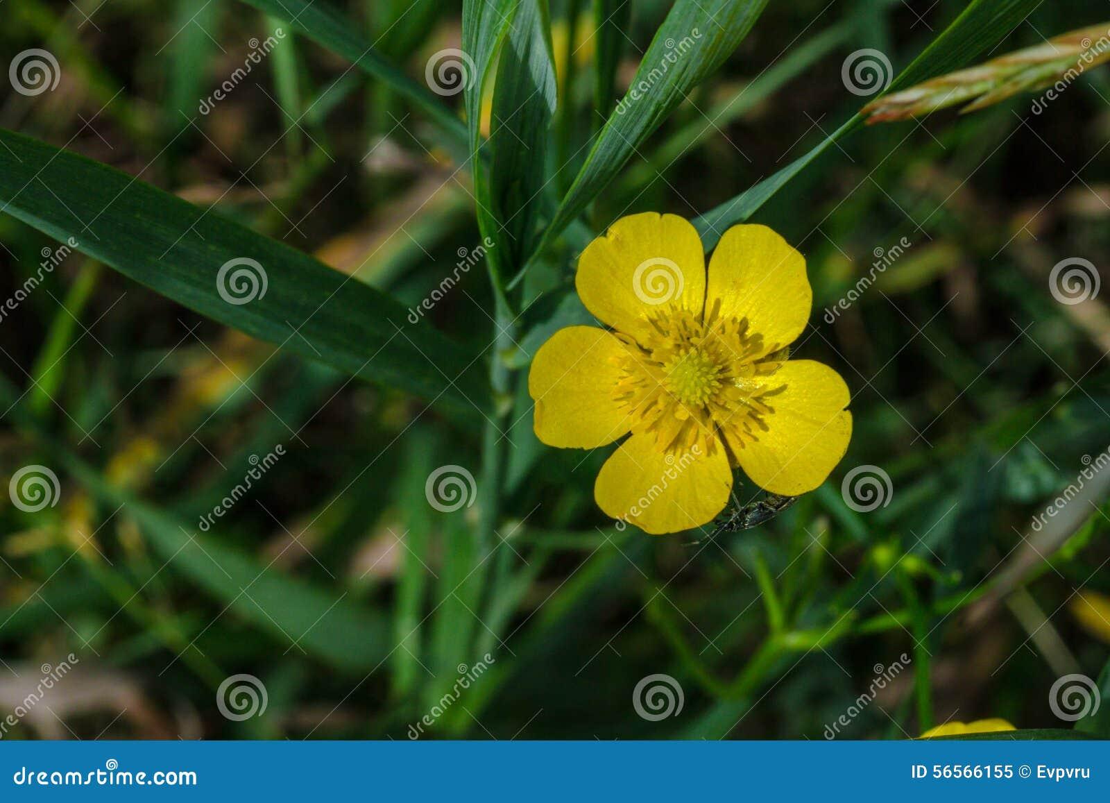 Download Acris βατραχίων στοκ εικόνα. εικόνα από κίτρινος, πράσινος - 56566155
