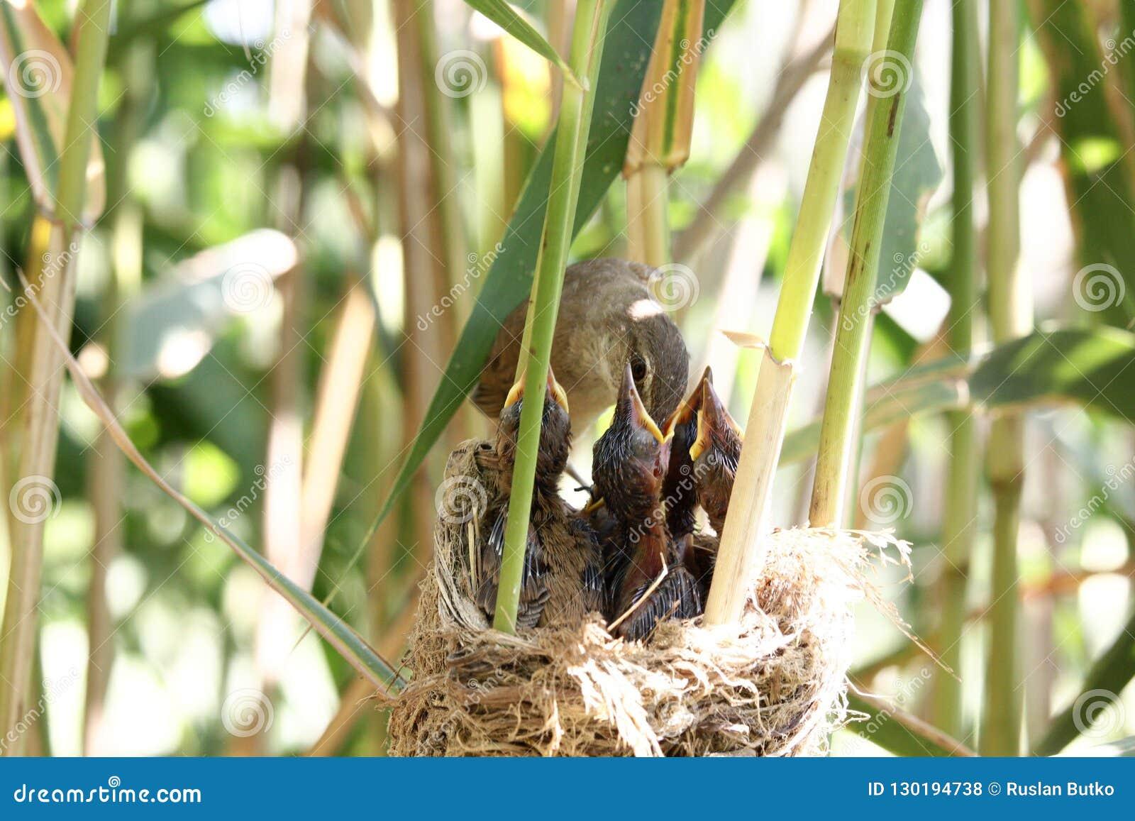 Acrocephalusvogel