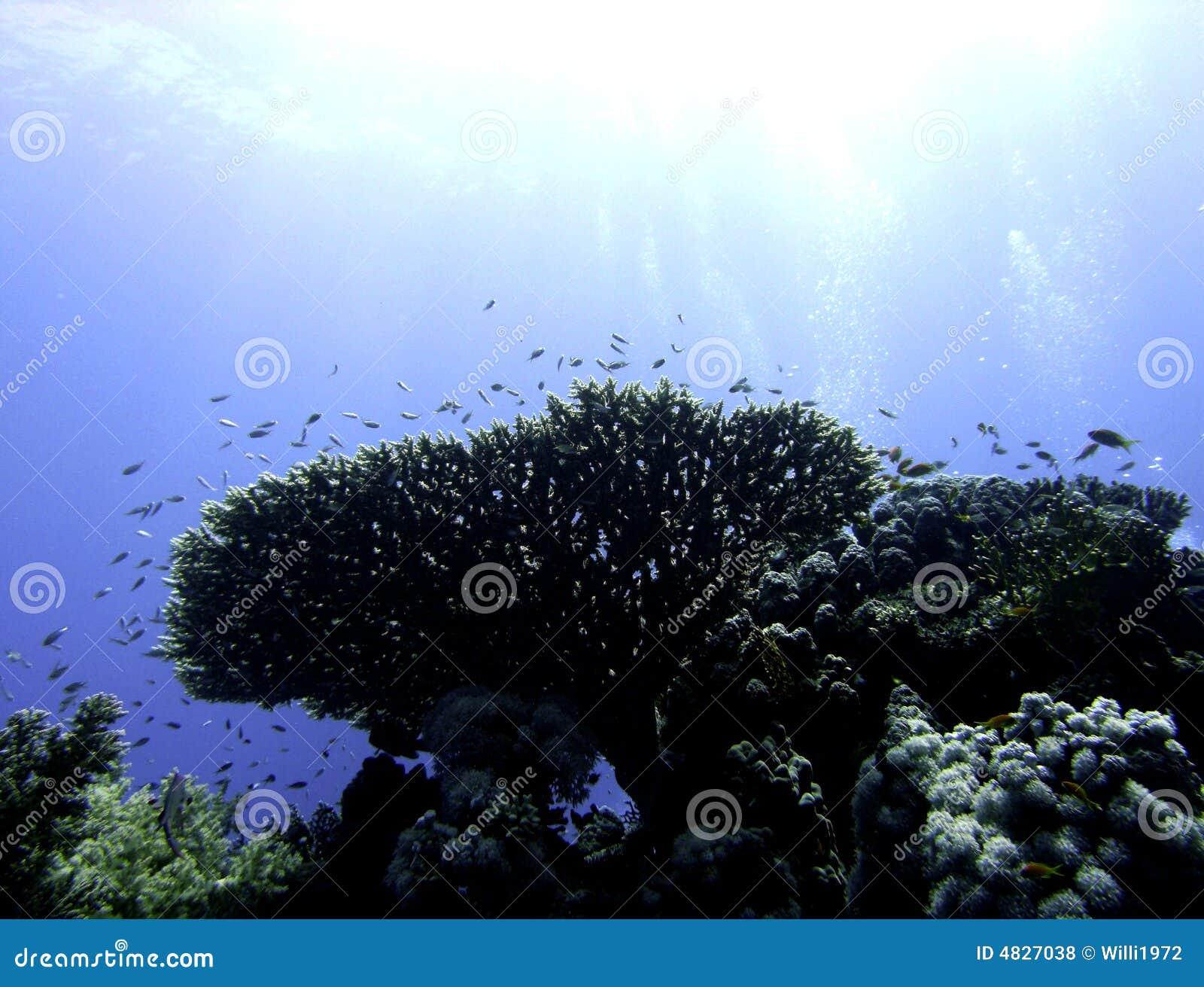 Acropora korali stół