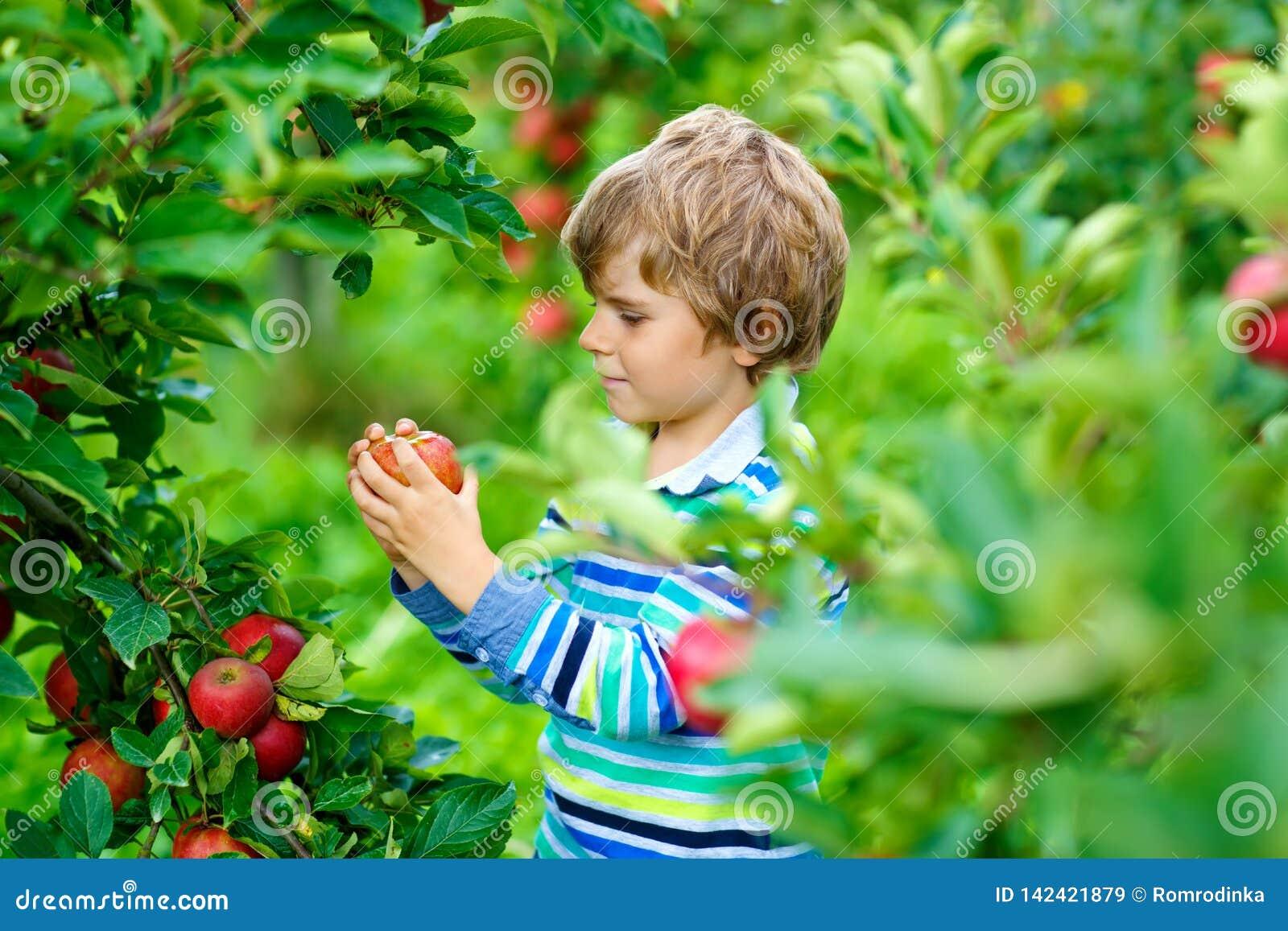 Actieve gelukkige blonde jong geitjejongen die en rode appelen op organisch landbouwbedrijf, de herfst in openlucht plukken eten