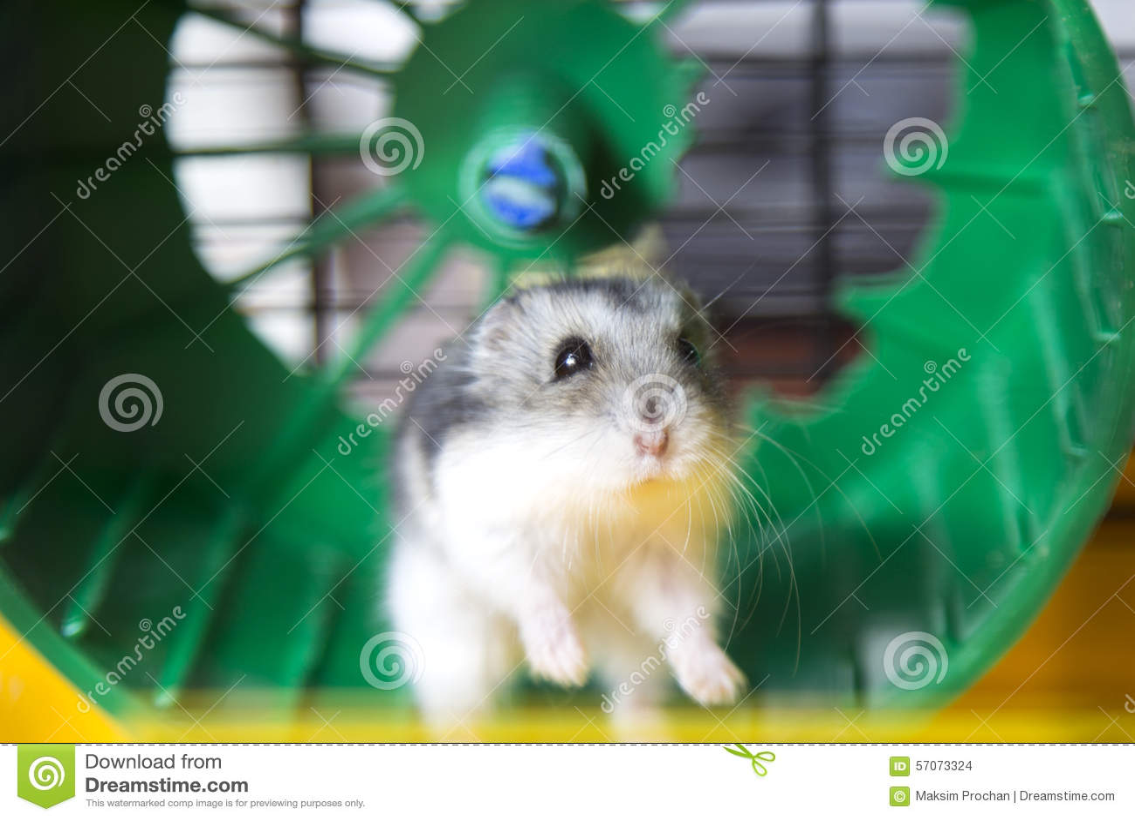 Actieve hamster die op een wiel lopen