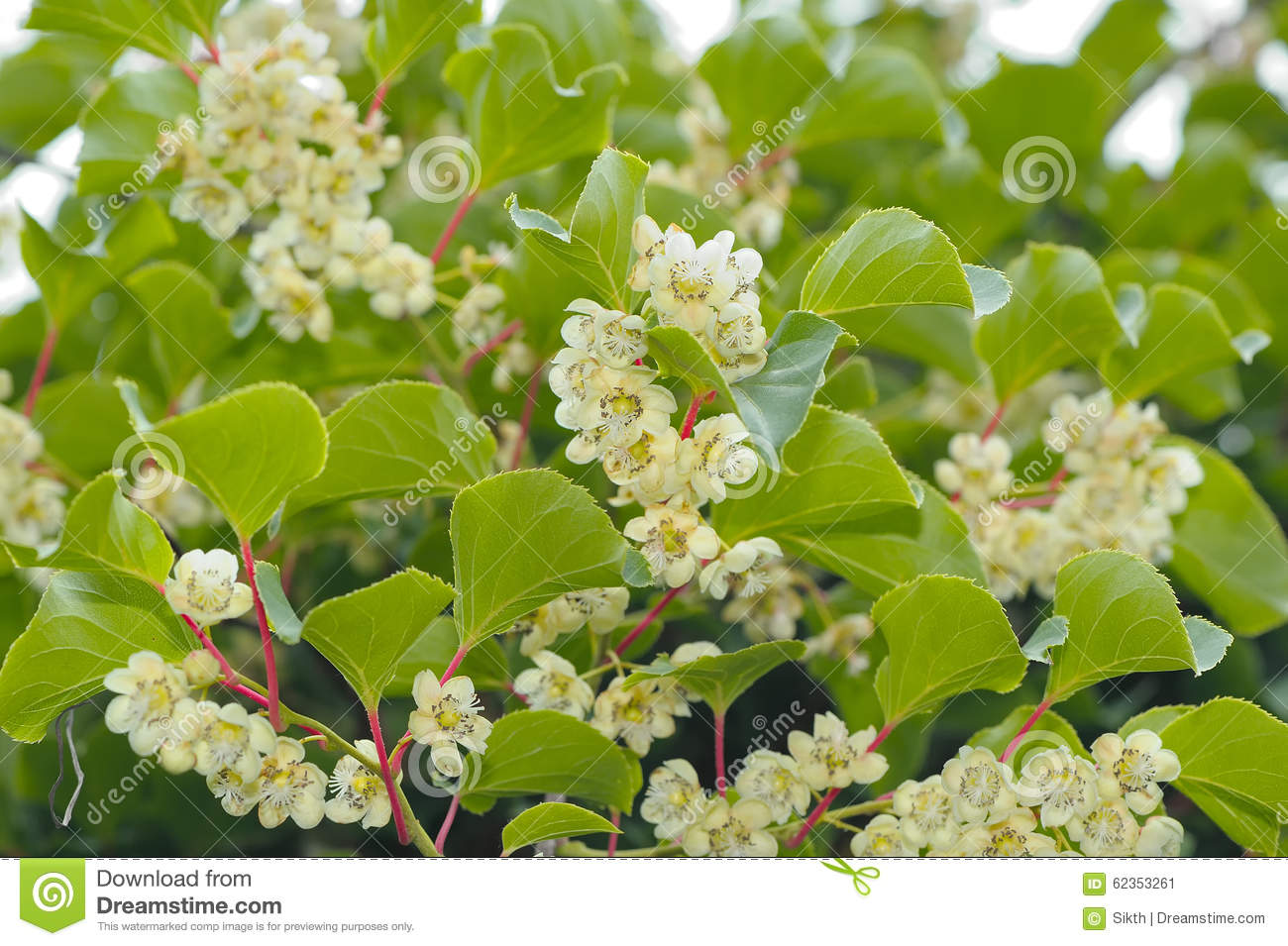 actinidia hardy kiwi plant with flowers stock image image of flora bush 62353261. Black Bedroom Furniture Sets. Home Design Ideas