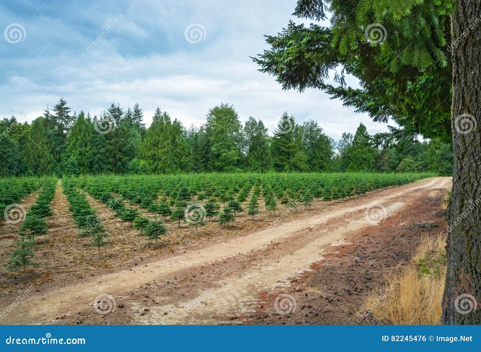Actions de plantation des pins à la ferme d arbre