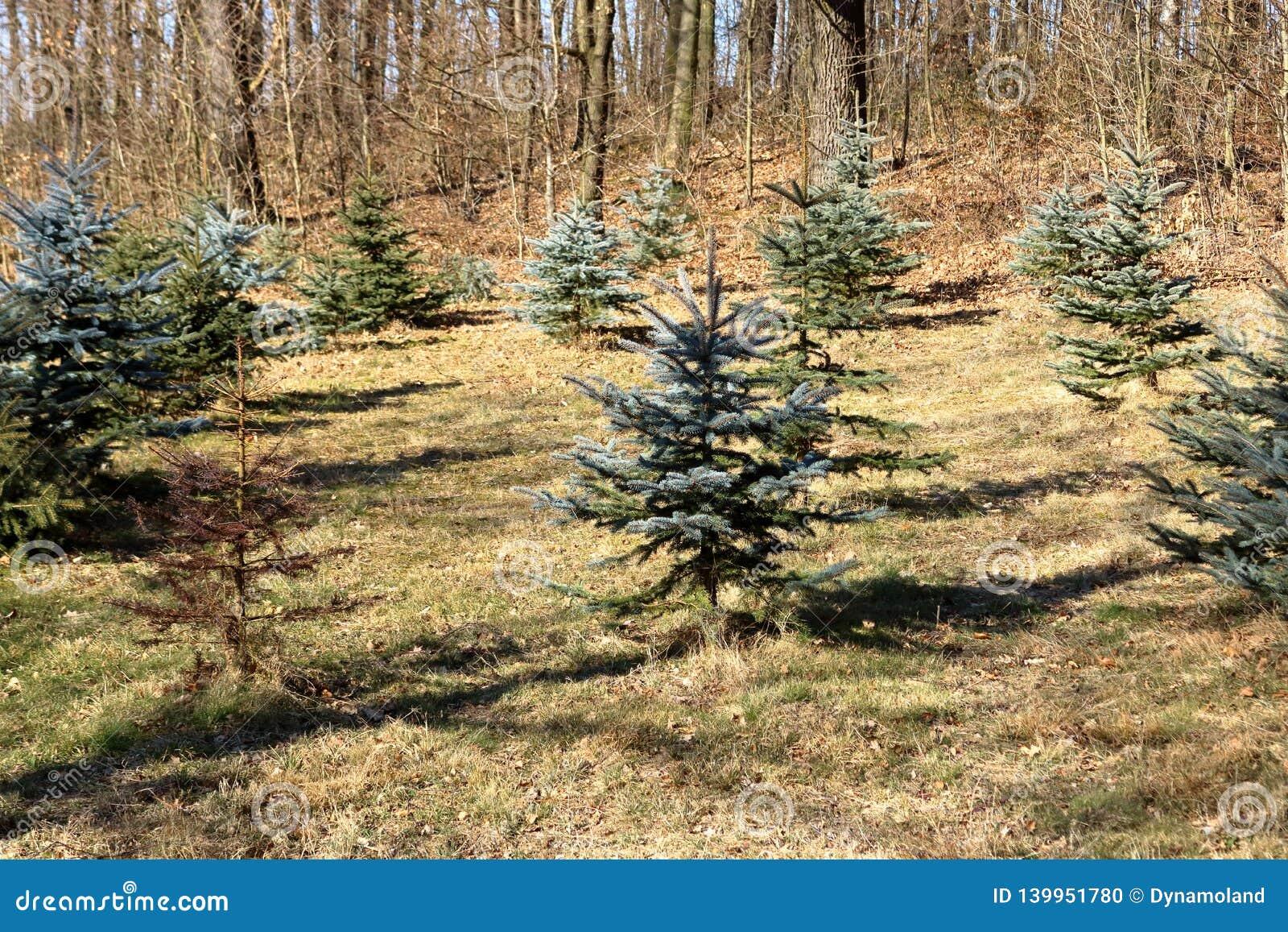 Actions de plantation des pins