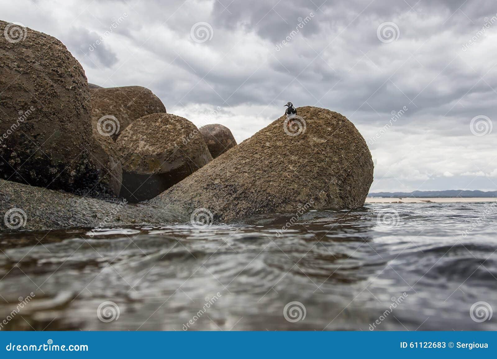Actitishypoleucos die op de stenen van de Atlantische Oceaan lopen