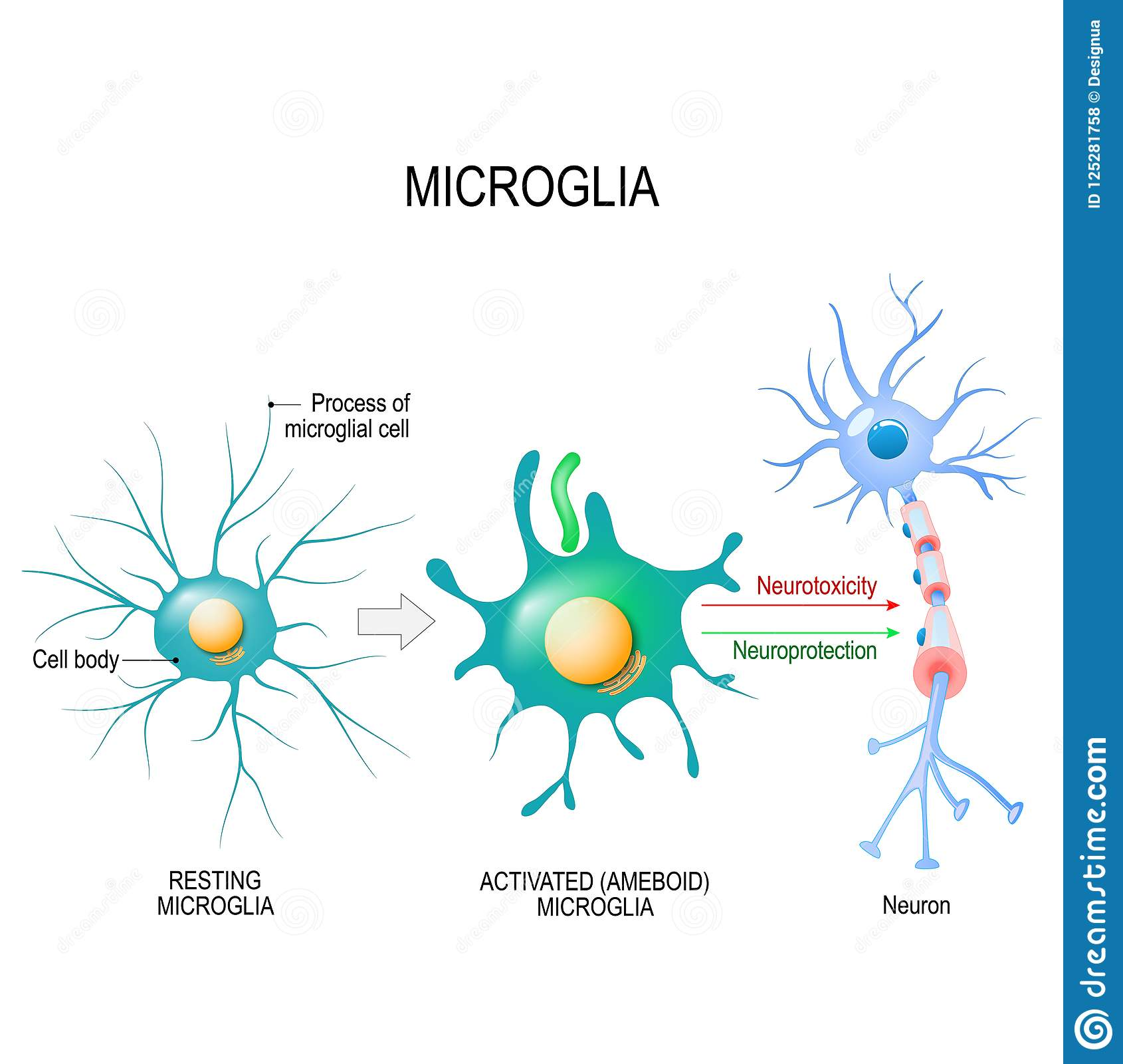 Activation Of A Microglial Cell. Stock Vector ...  Activation Of A...