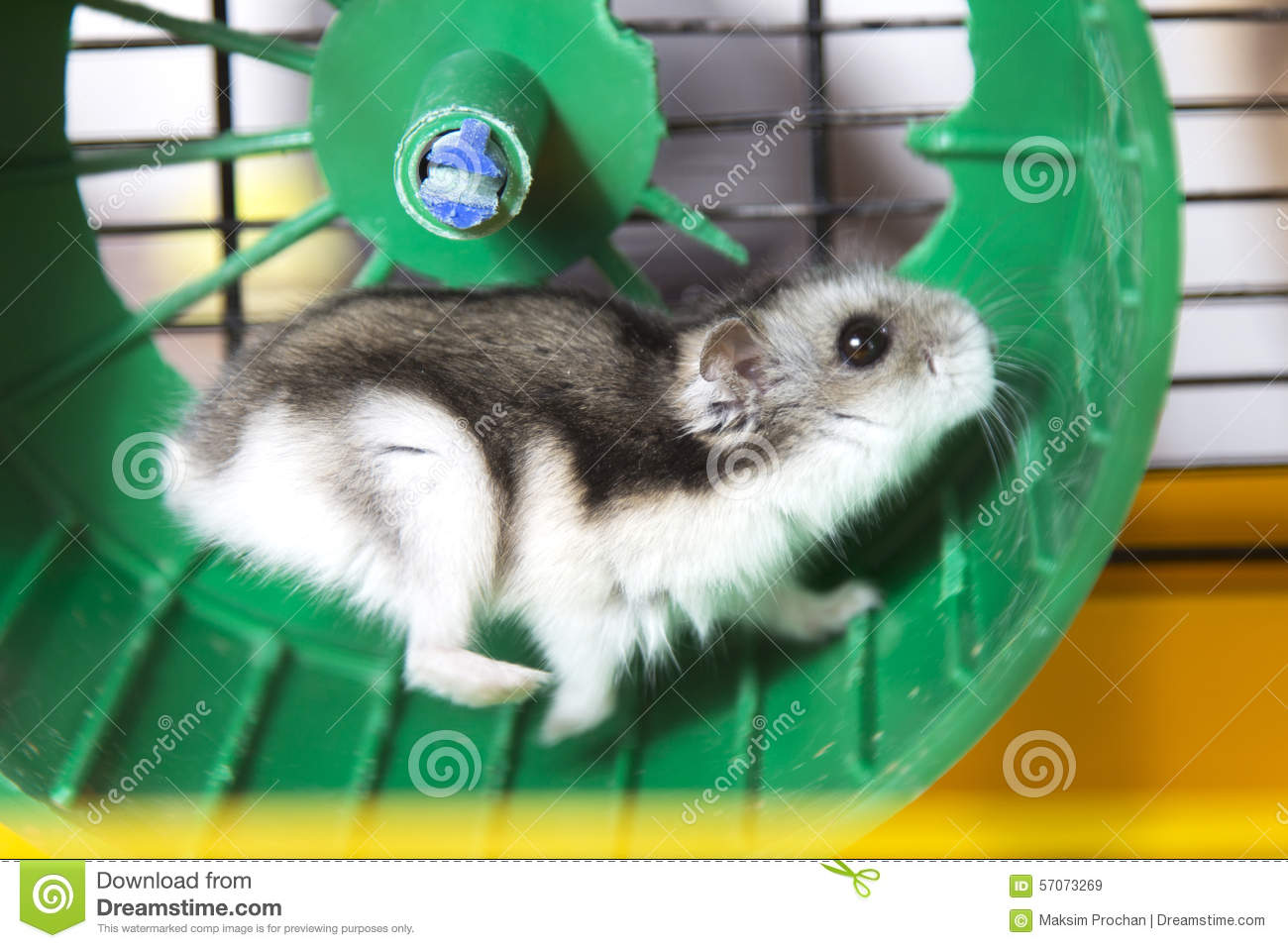 Uncategorized Hamster Free Vids hamster wheel stock images download 409 photos active running on a royalty free images