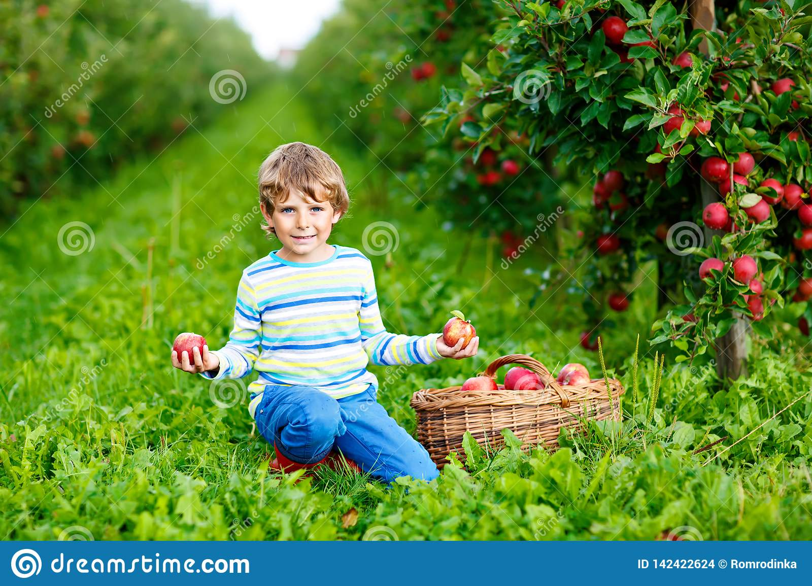 Active happy blond kid boy picking and eating red apples on organic farm, autumn outdoors. Funny little preschool child