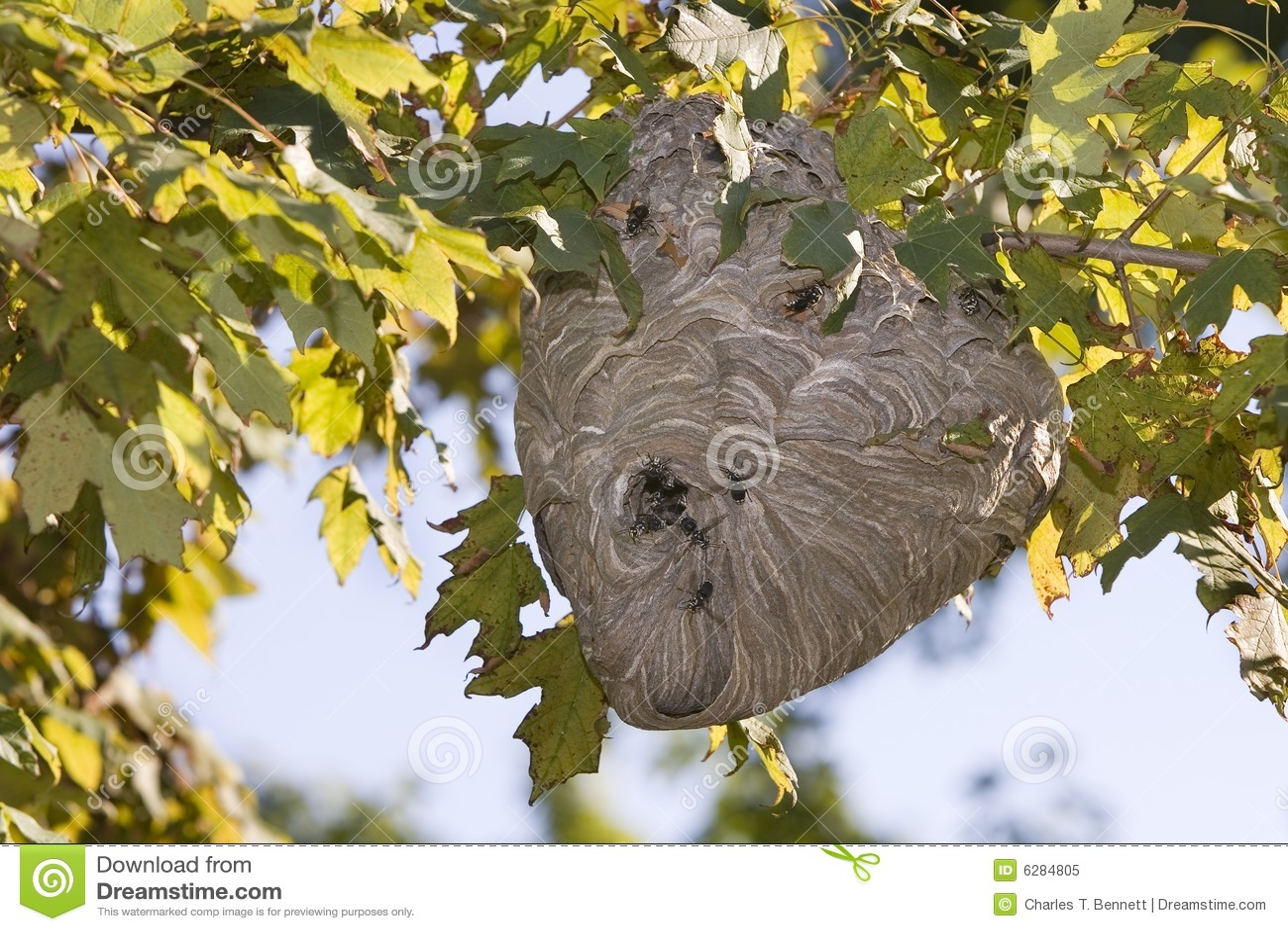 Active Hornet s Nest With Hornets