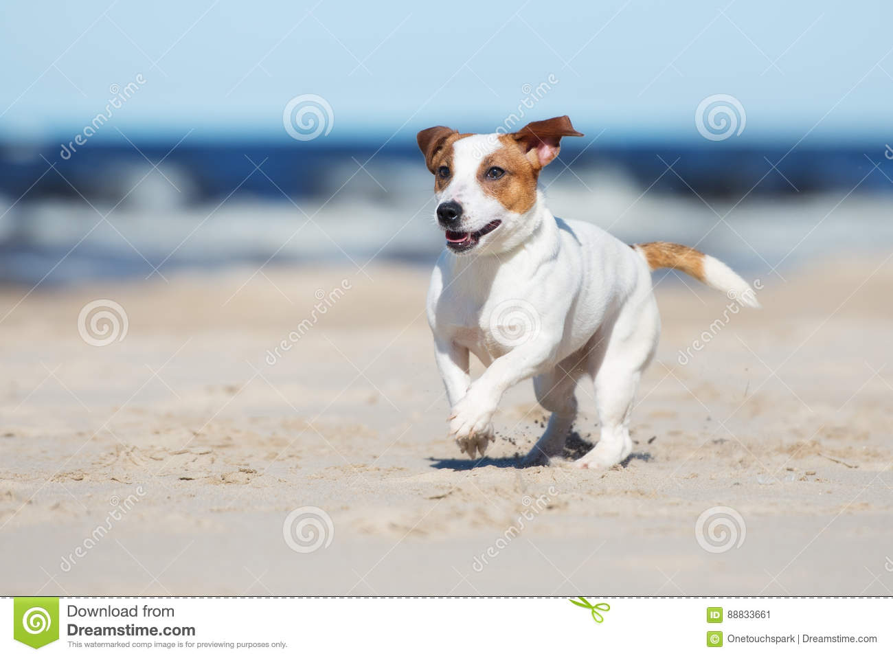 Active jack russell terrier dog on a beach