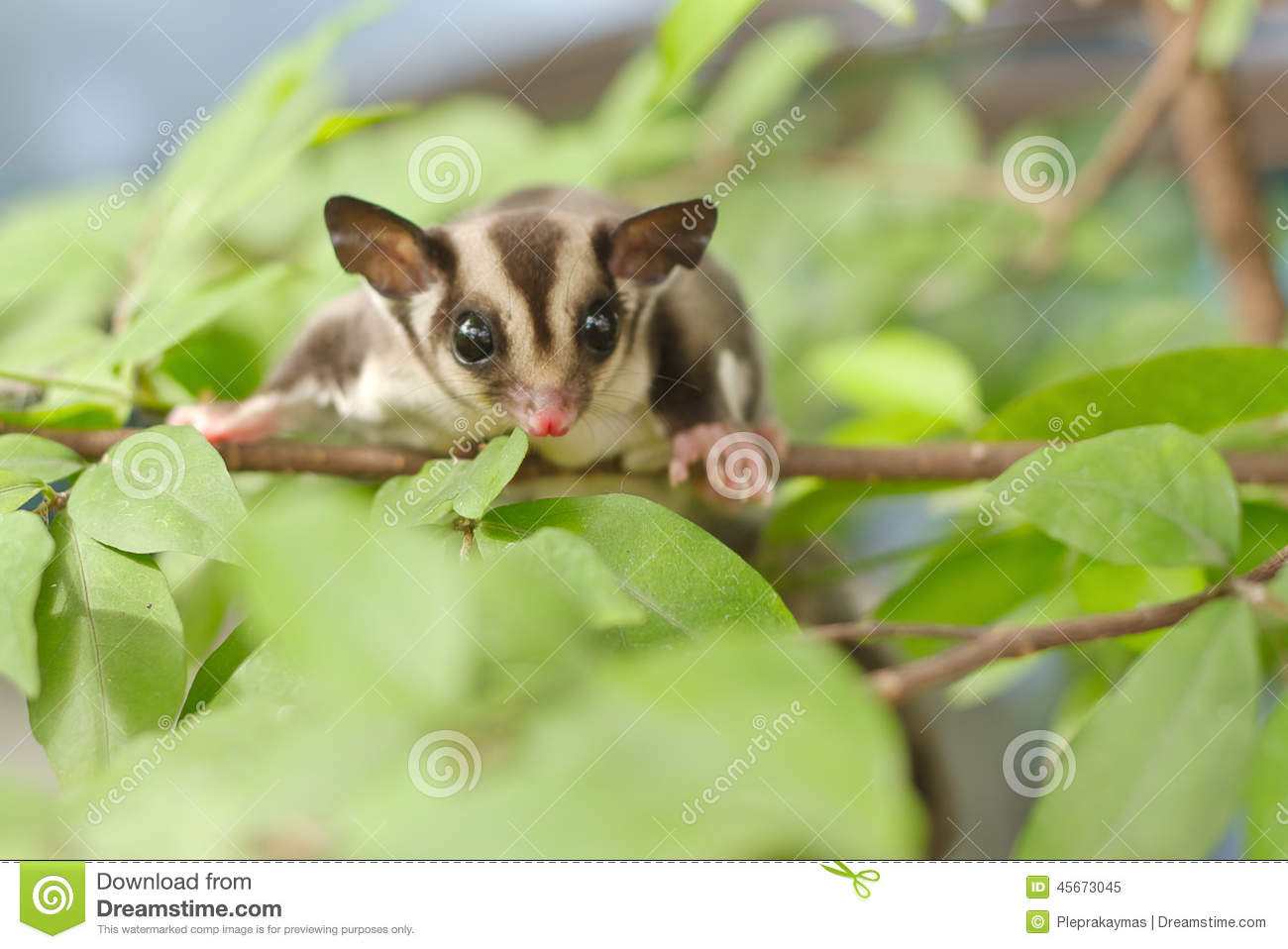 Active sugar-glider on nature