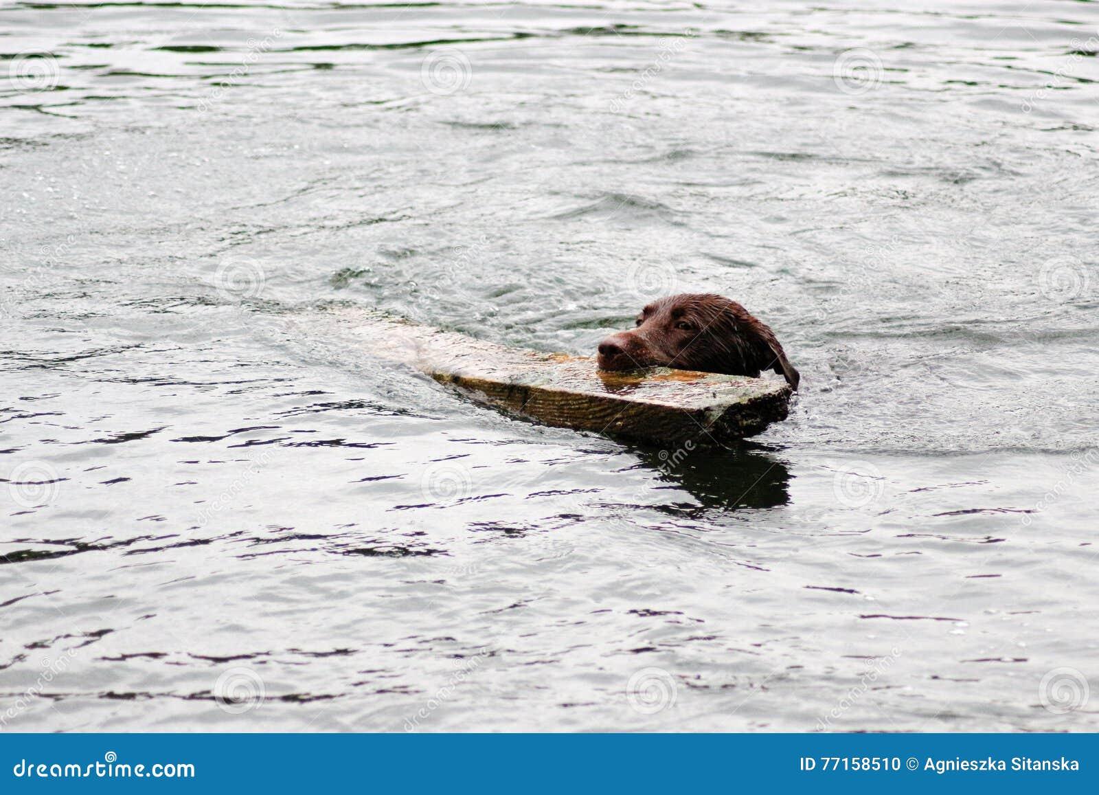 Activité de chien de Brown dans l eau