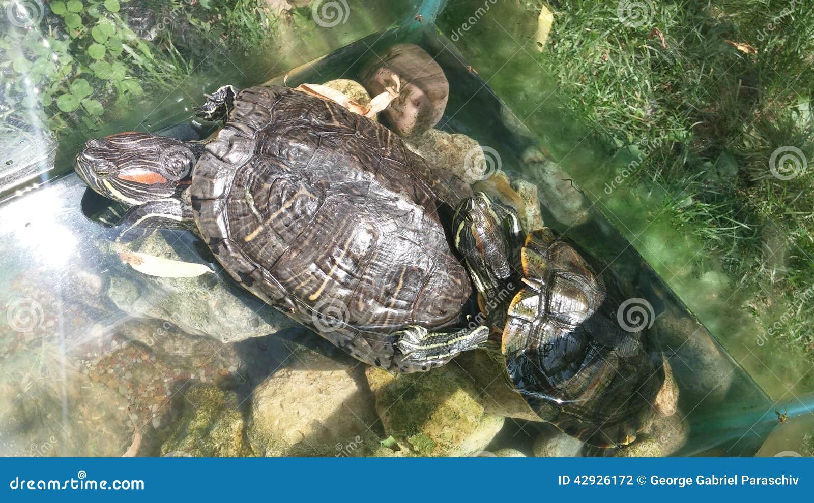 Acuario con dos tortugas foto de archivo imagen 42926172 for Acuario tortugas