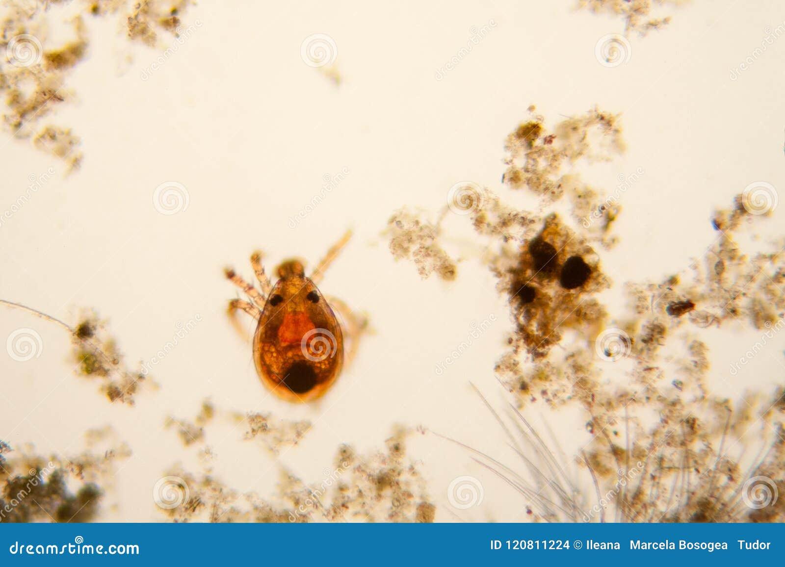 microscopio de ácaros