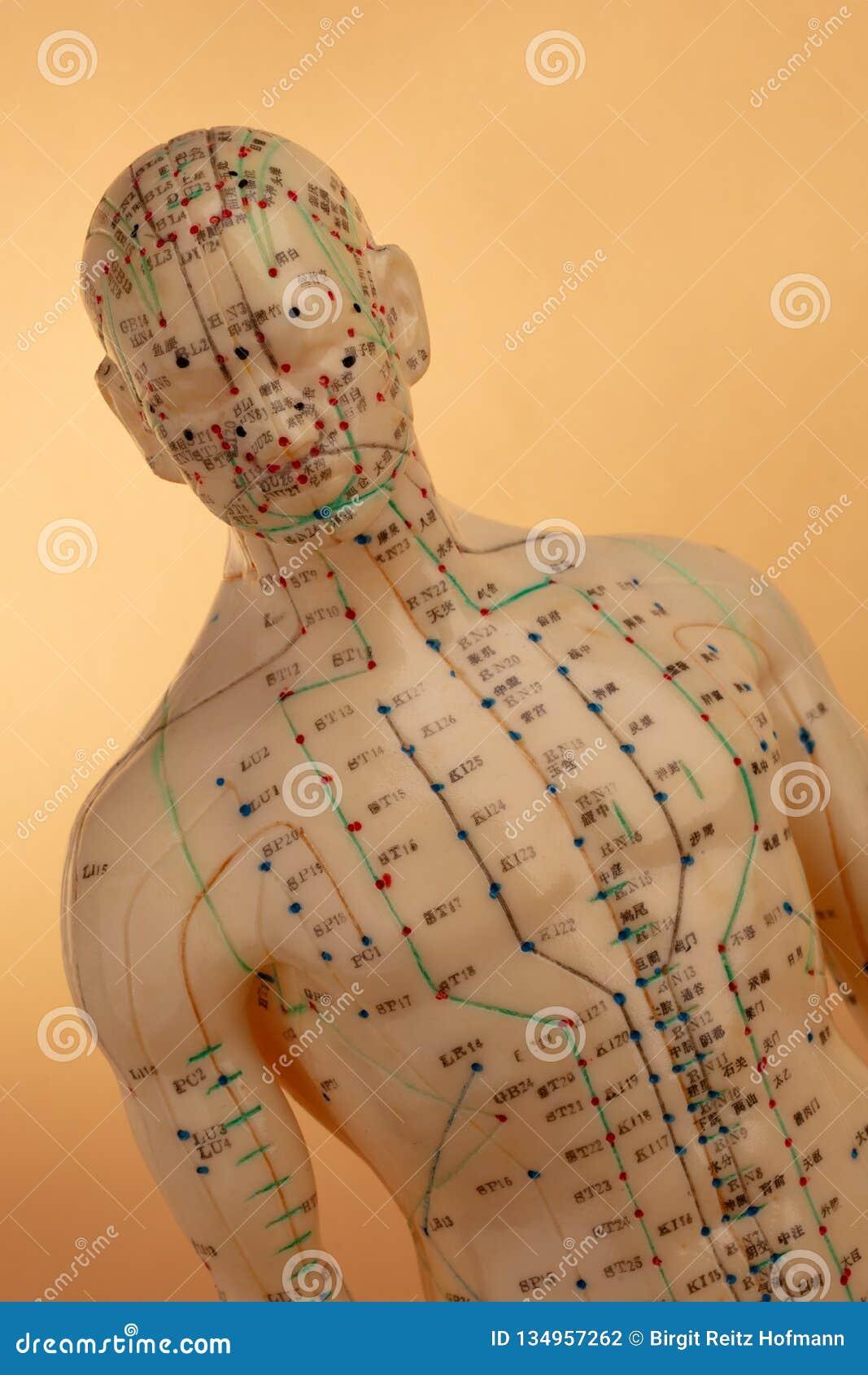 Acupunctuurmodel