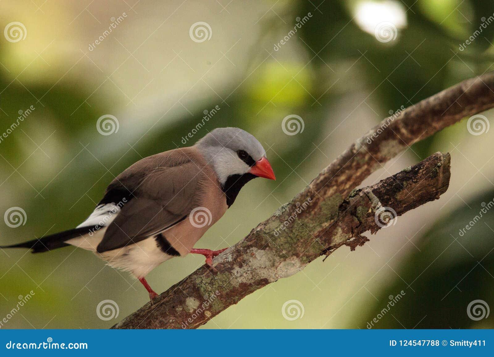 Acuticauda van Shafttailfinch poephila