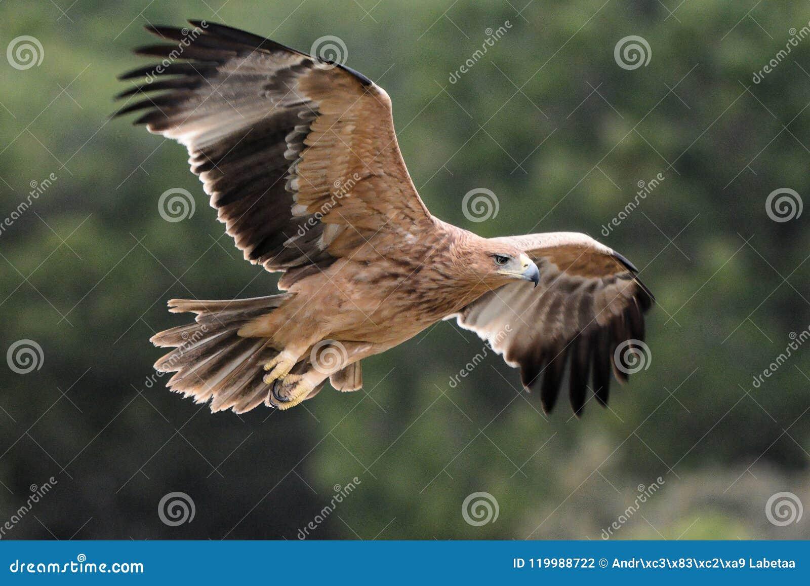 Adalberti imperial espanhol juvenil de Eagle - de Aquila - voo, Espanha