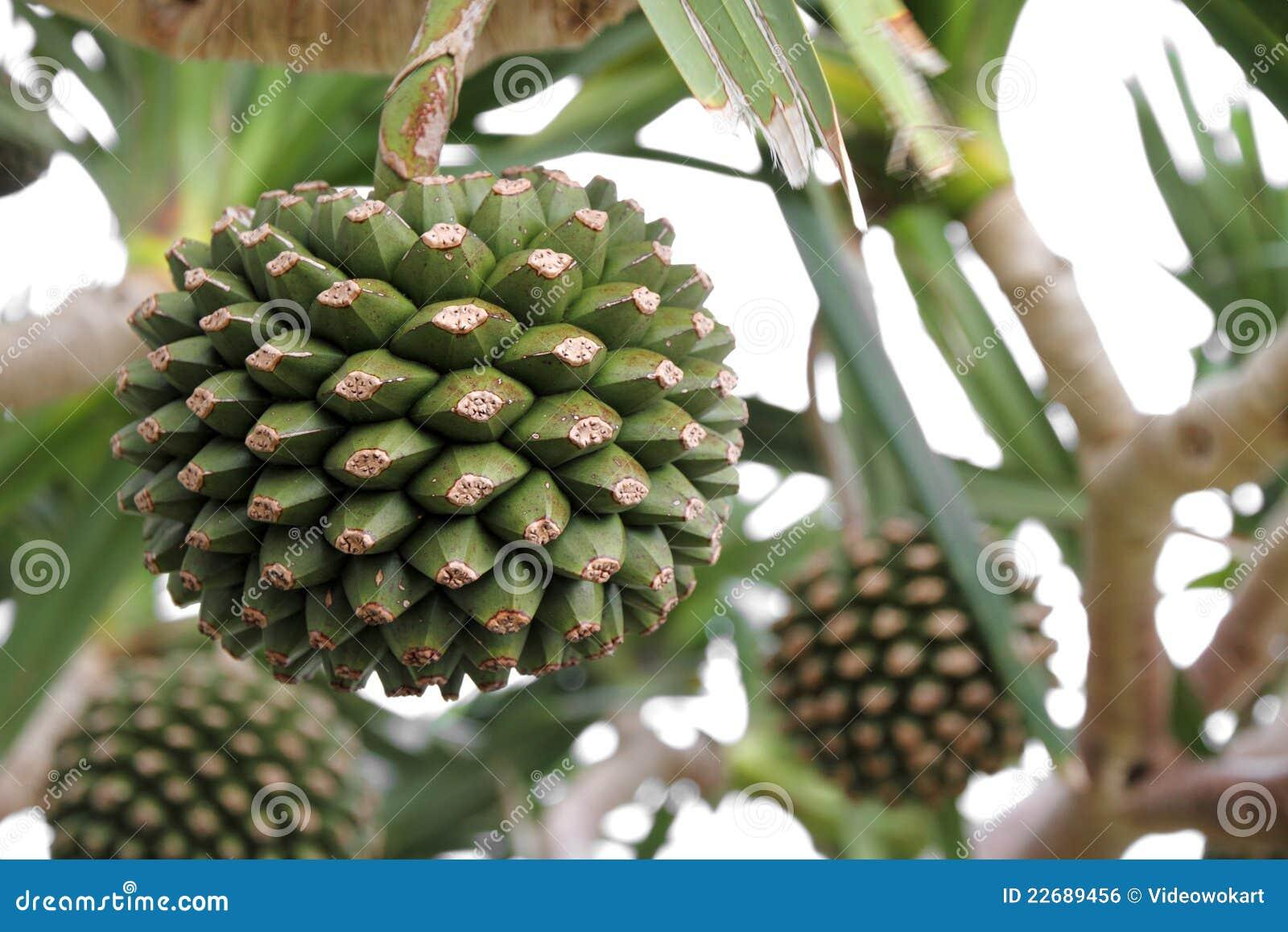 Adan Fruit Tree Royalty Free Stock Image - Image: 22689456