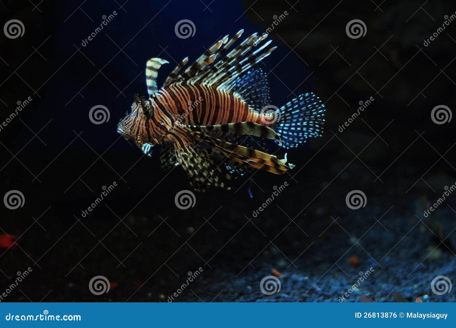 Adas lwa ryba