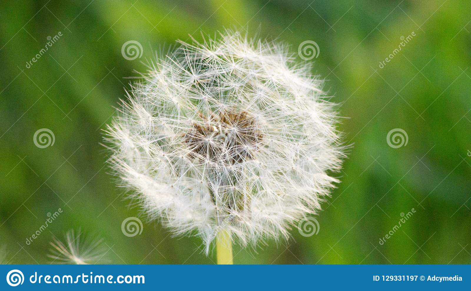 ADCY0943518SL-DandelionPuff. Close Dandelion Puff Showing Individual Seed Parachutes royalty free stock photography