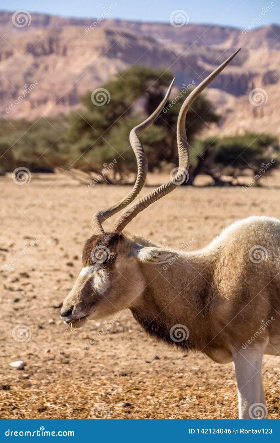 Addax Addax nasomaculatus, aka screwhorn antelope, white antelope or Curved horned antelope